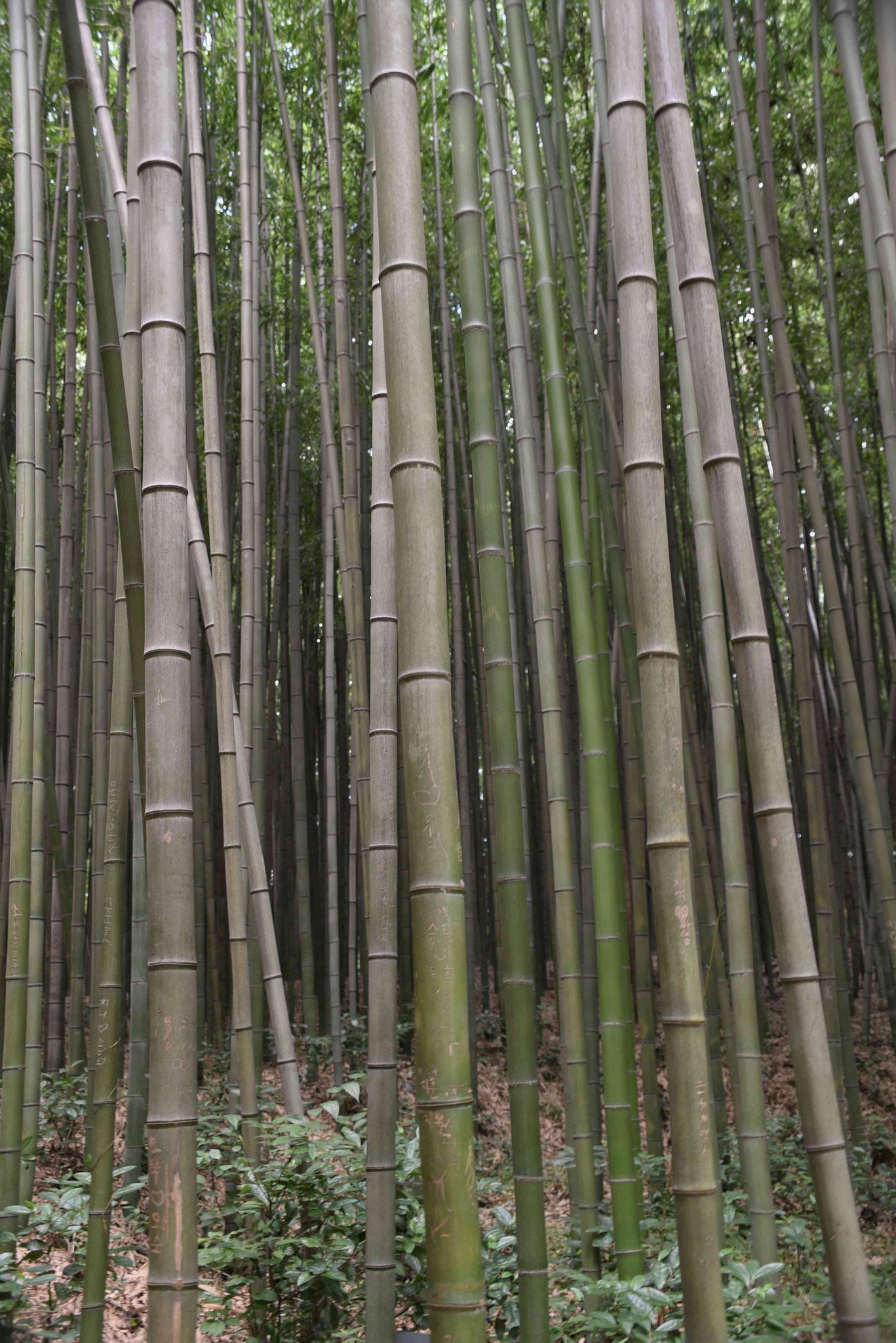 Bambusstämme