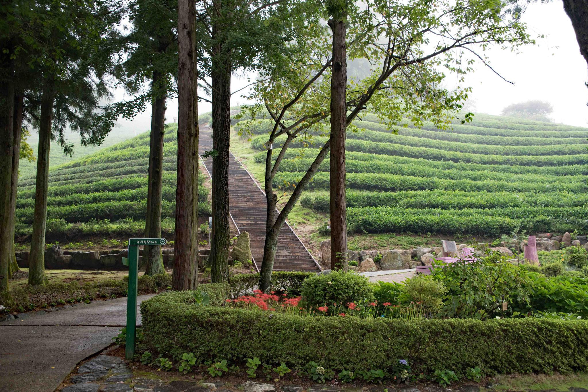 Am Fuße von der Teeplantage Daehan Dawon