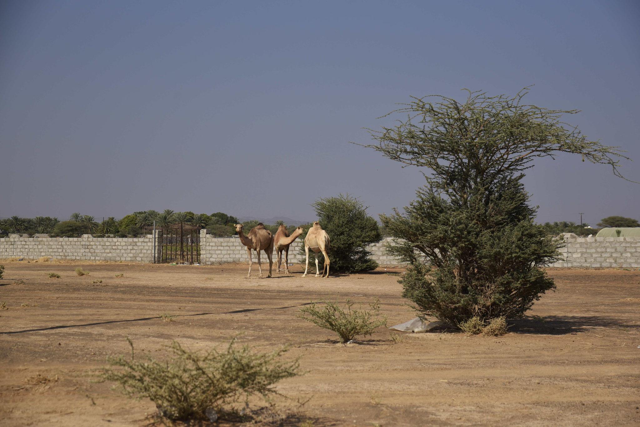 Freilaufende Kamele am Wegesrand