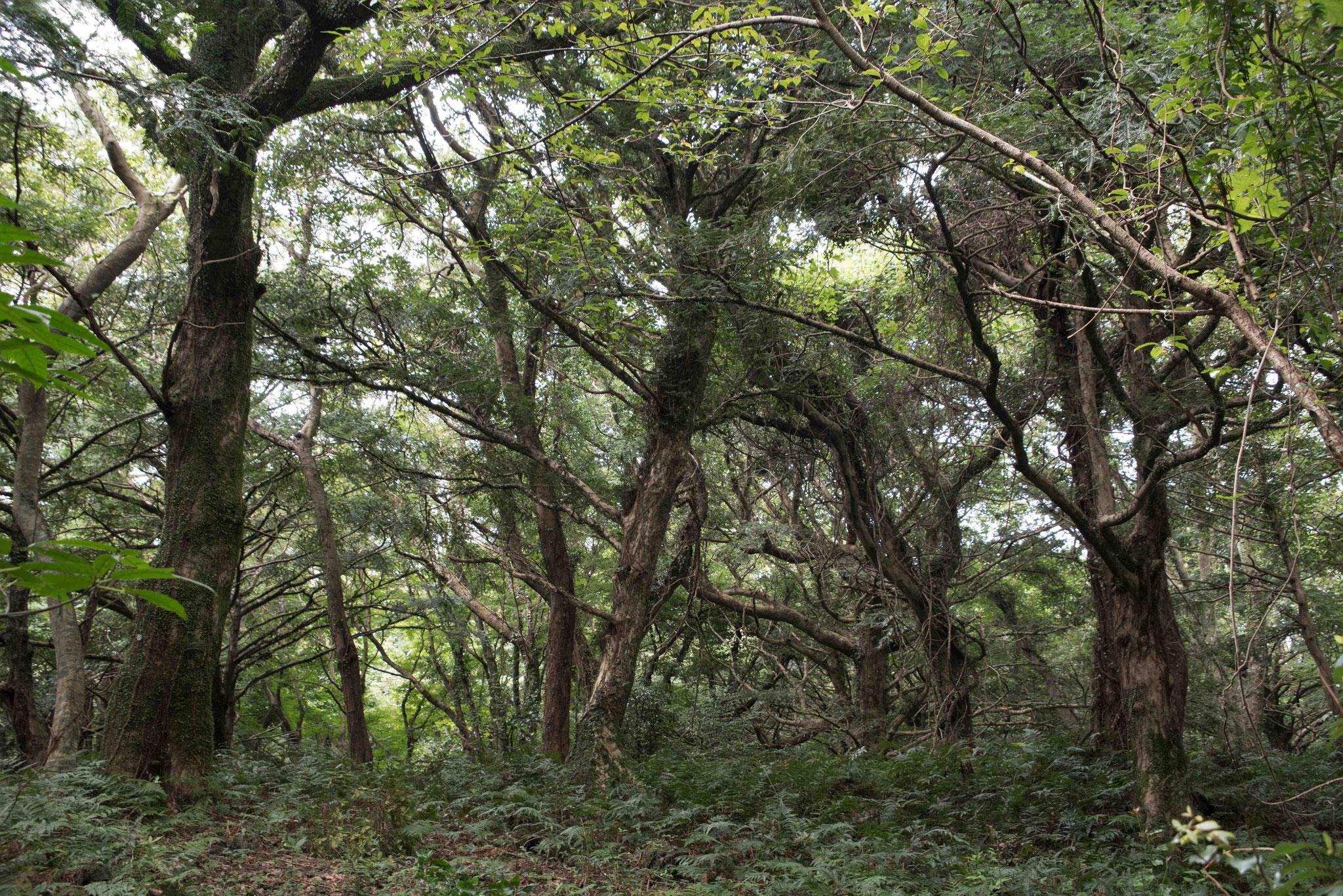 Maskatnussbäume  - fast wie in einem Urwald