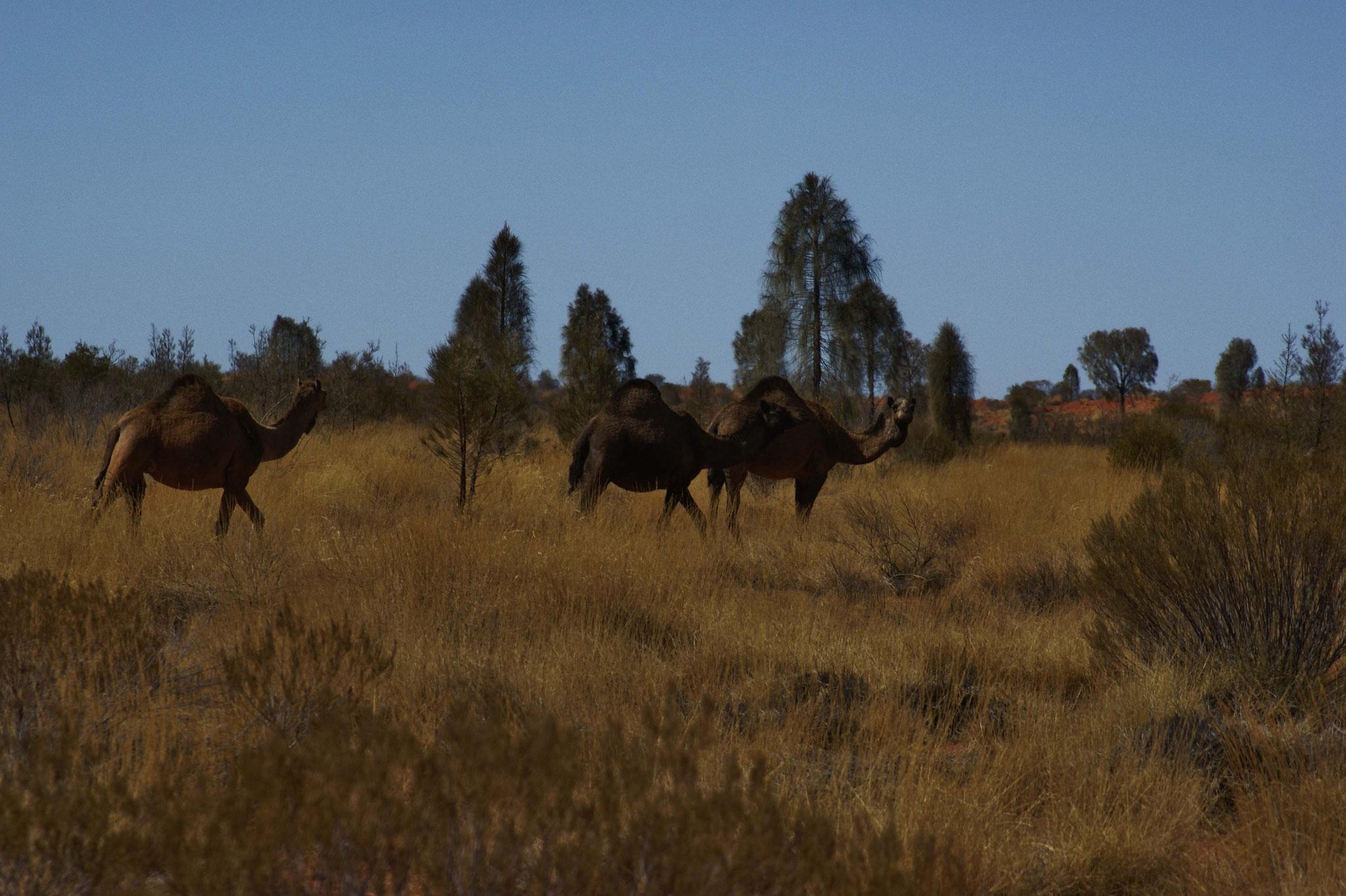 Nachkommen der Kamele für den Bau des Ghan (Verbindungszug von Adelaide nach Alice Springs  bzw. heute Darwin)