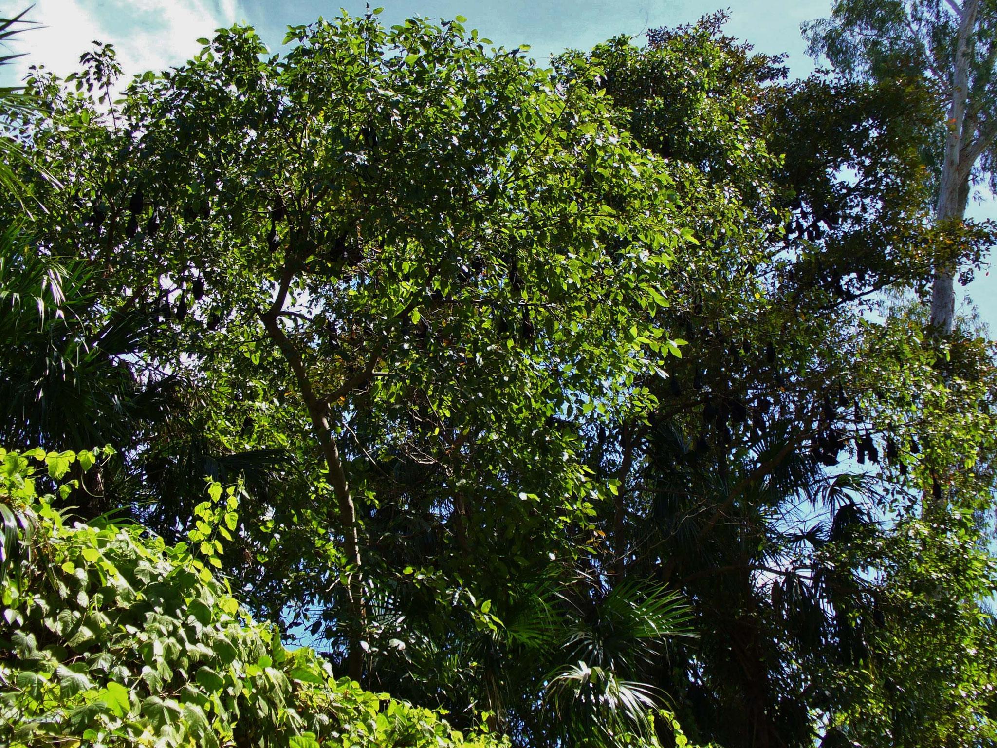 Flughunde besiedeln die Bäume