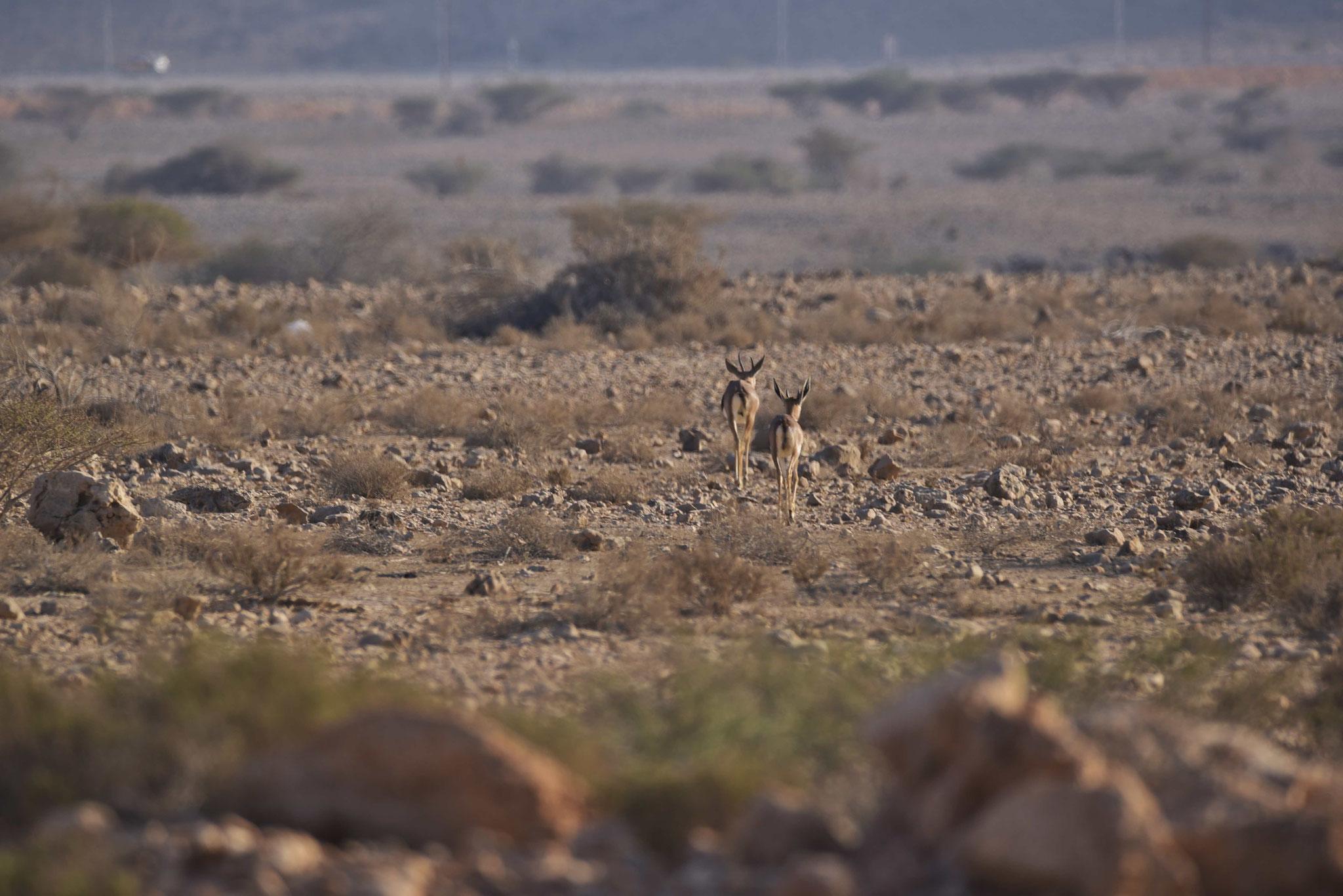 Mit viel Glück kann man auch Antilopen sehen