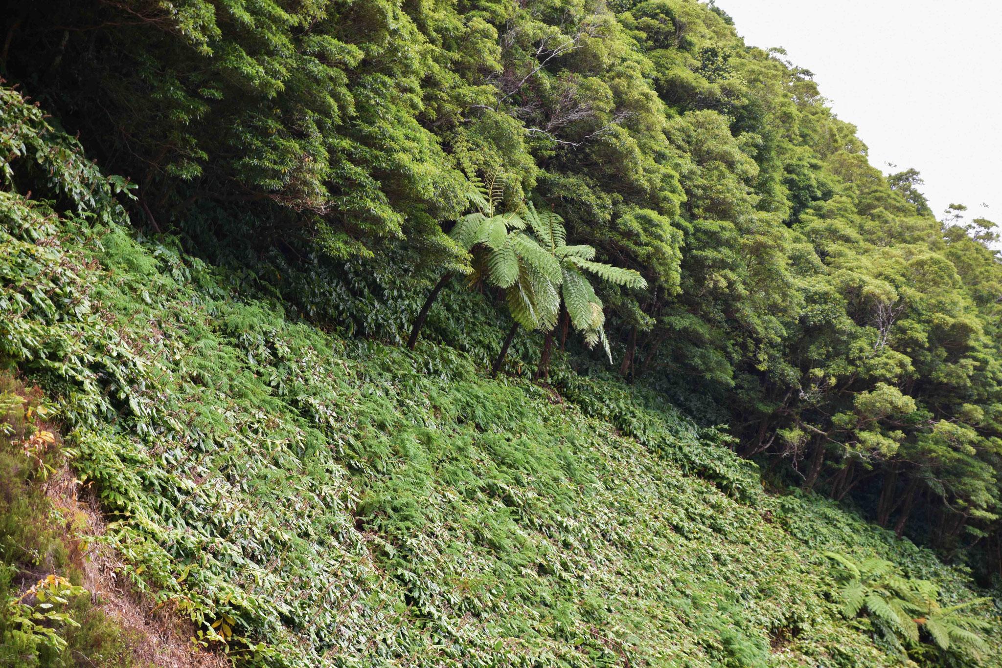 Aufgrund der hohen Luftfeuchtigkeit wachsen hier auch Baumfarne wie im Urwald
