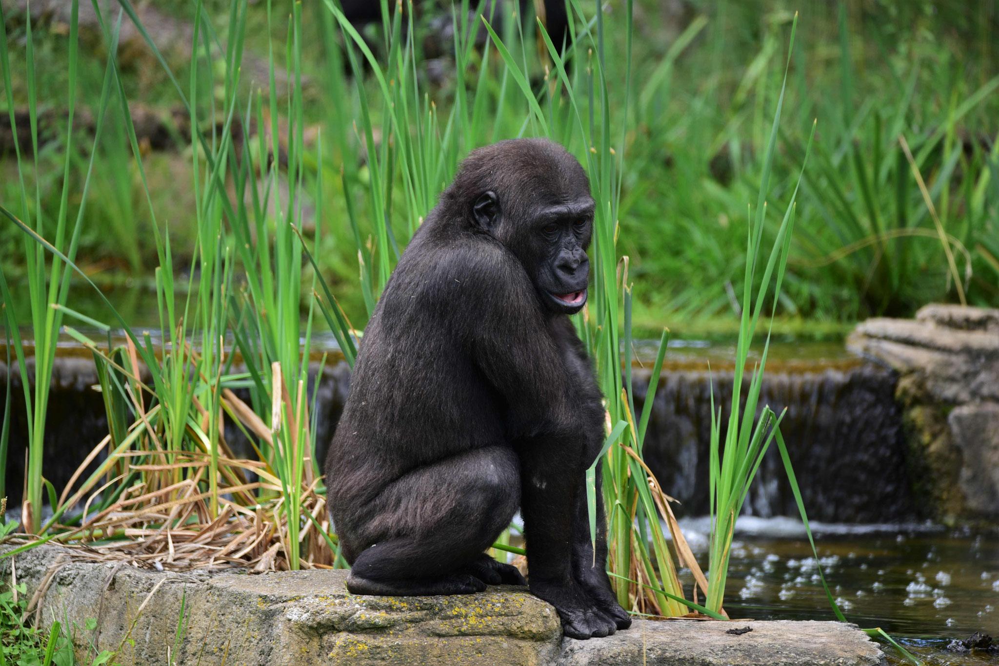 Gorilla im Außengehege der Wilhelma, Stuttgart