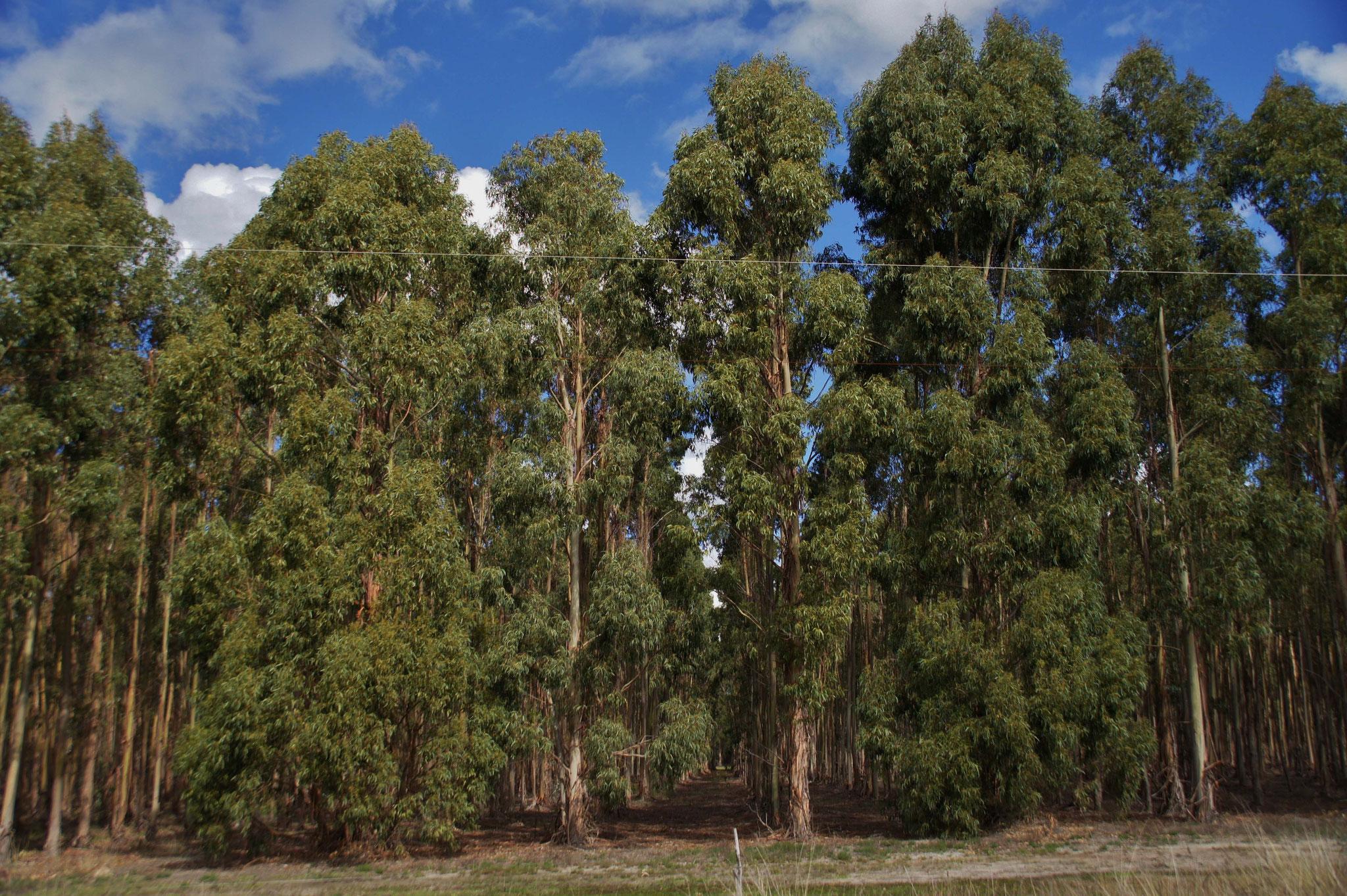 Ganze Landstriche werden als Nachschub für die Holzwirtschaft genutzt