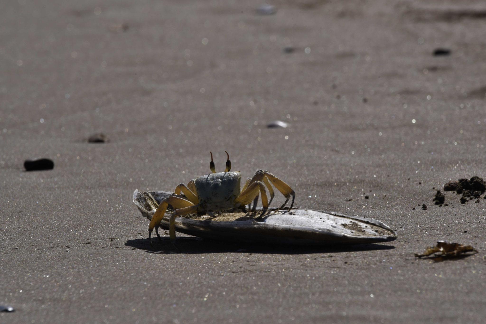 Krabbe am Strand von Seeb