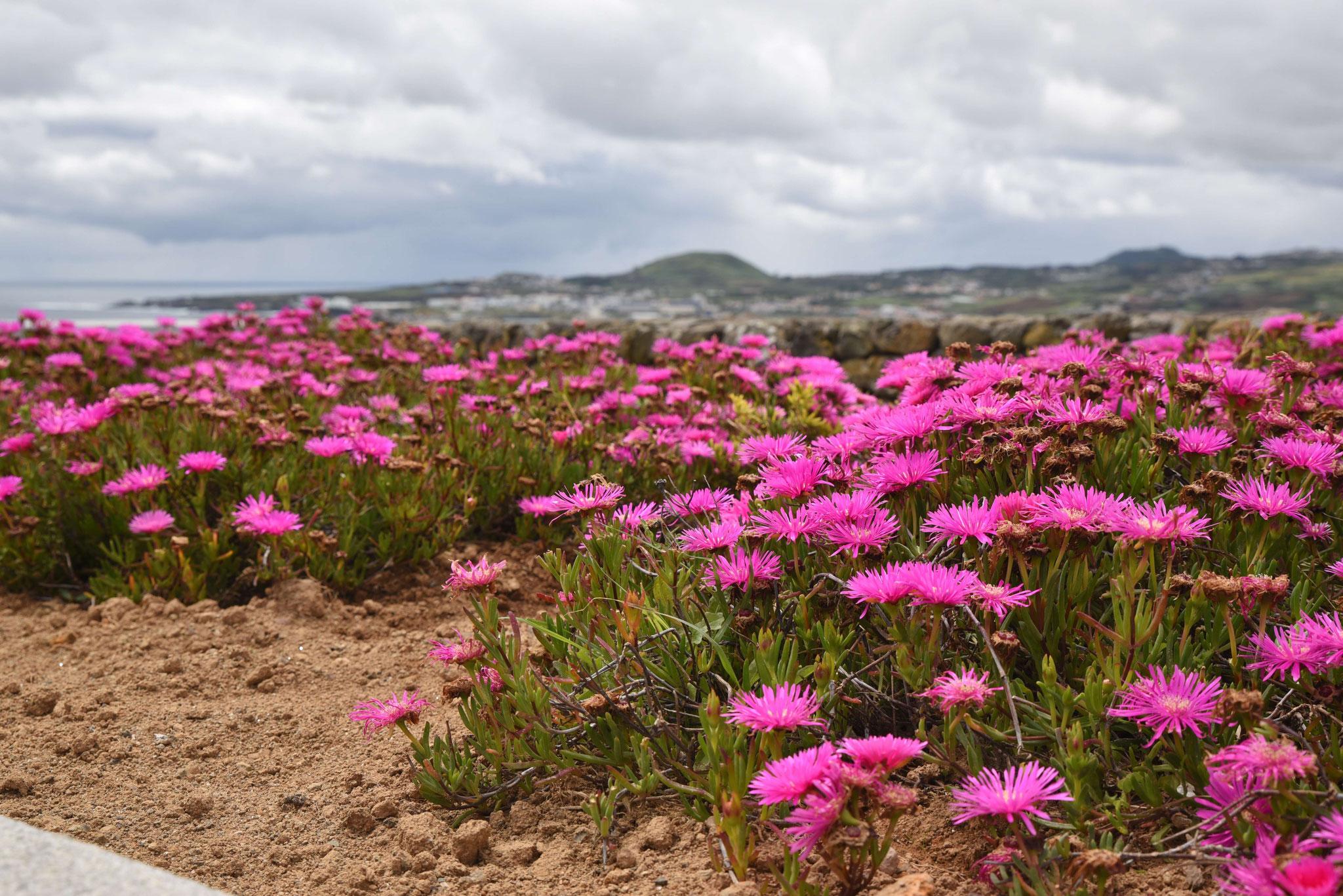 Bunte Blumenpracht über Praia da Vitória