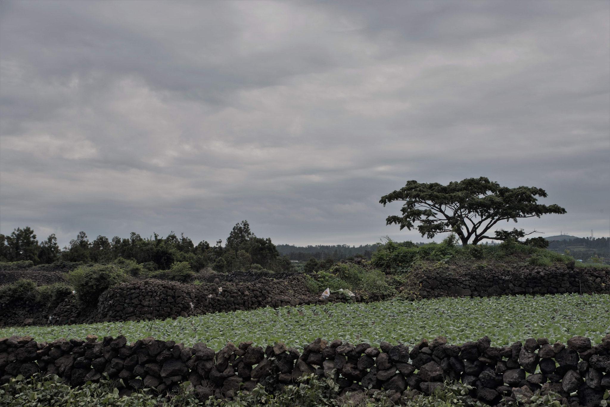 Steinmauern umzäunen die Felder