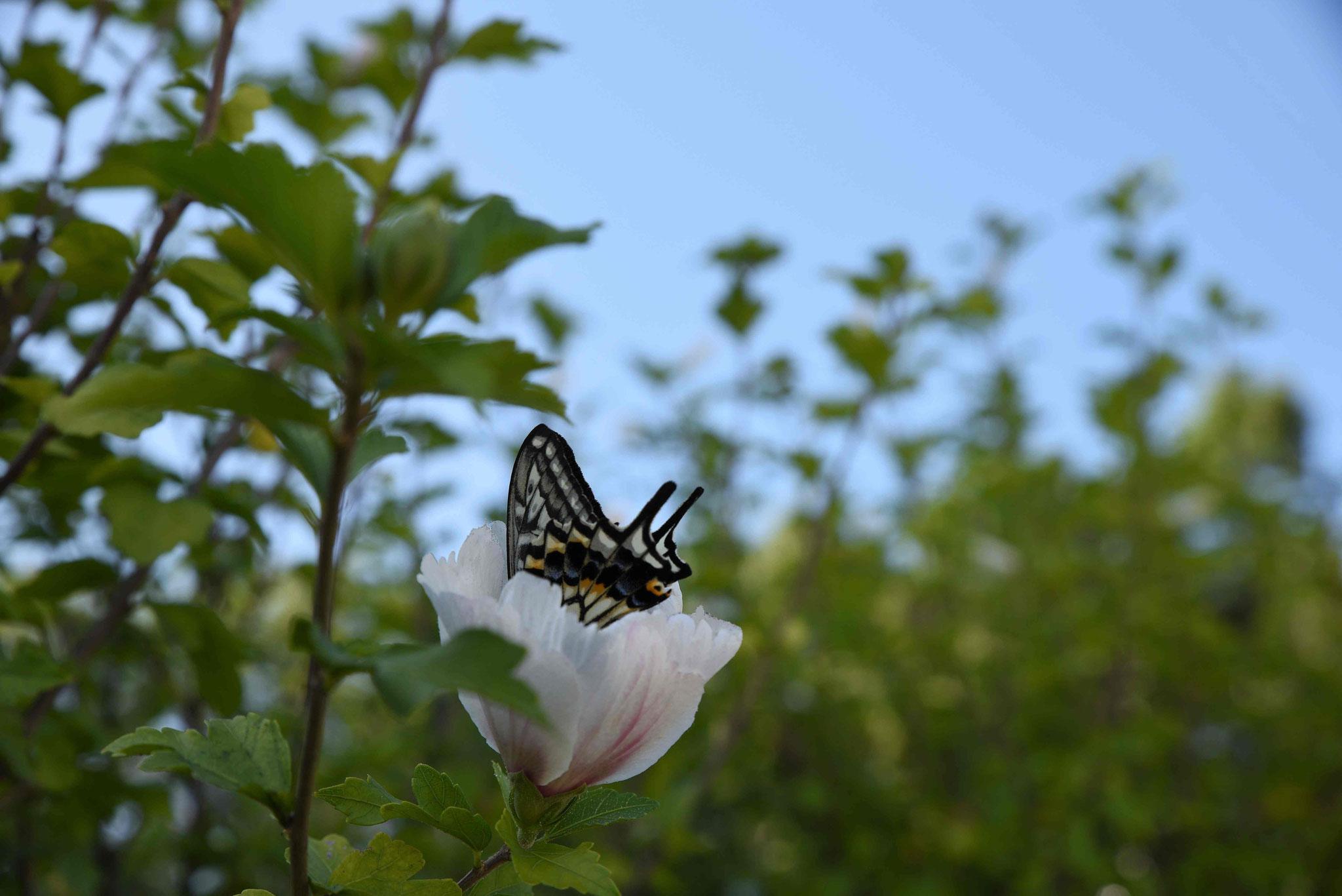 Großer Schmetterling