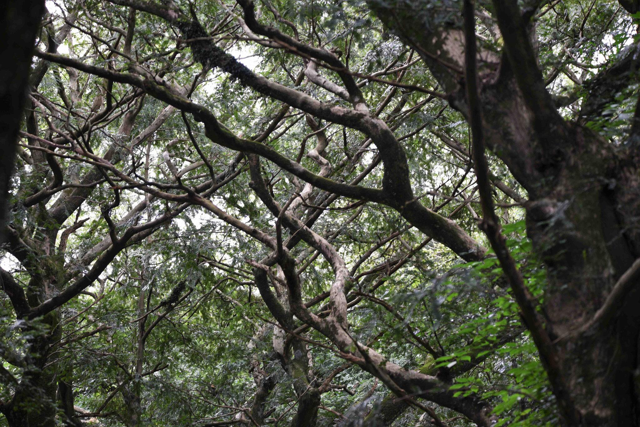 Muskatnussbäume