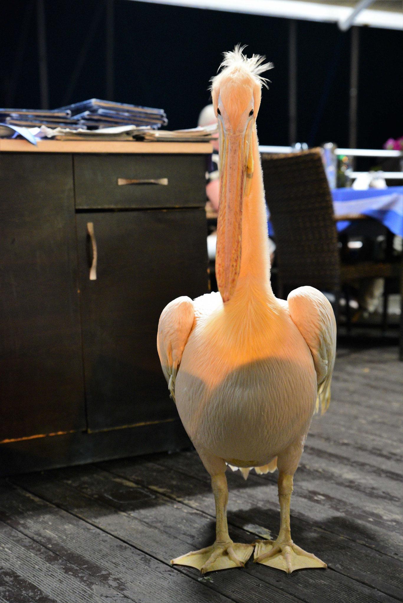 ... findet man auch einen Pelikan in einem Lokal