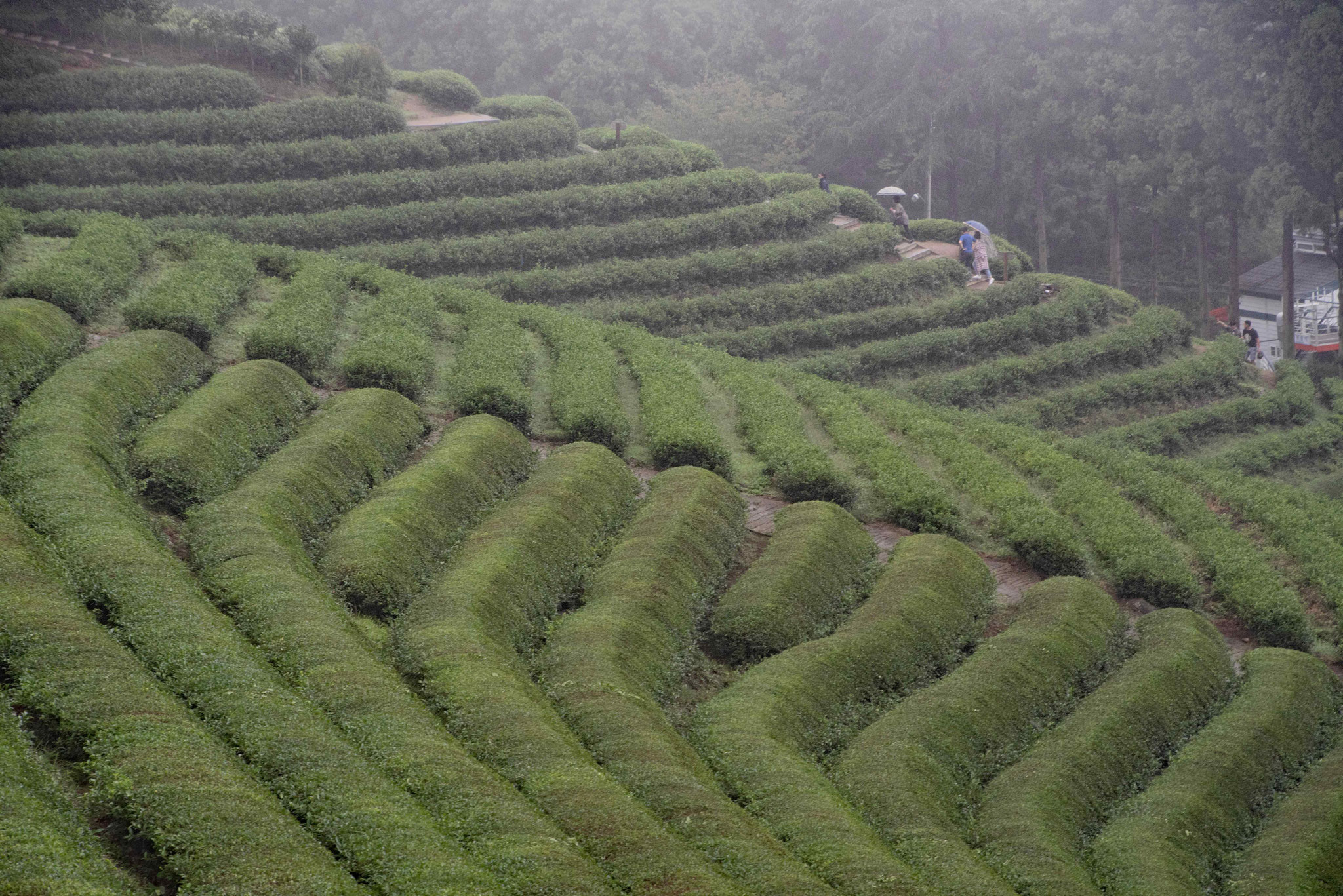 Blick von oben über die Teeplantage