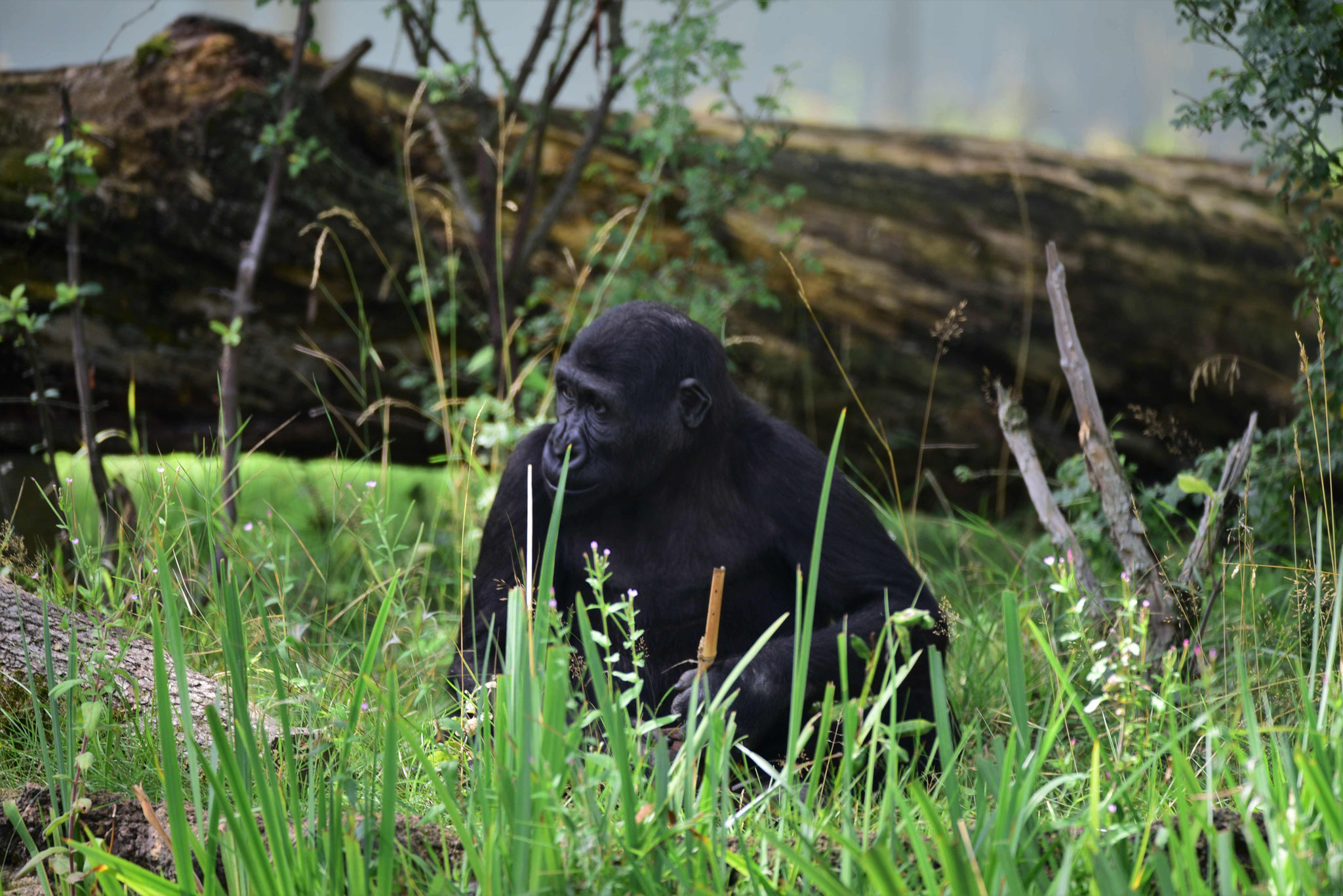 Entspannter Gorilla, Wilhelma Stuttgart