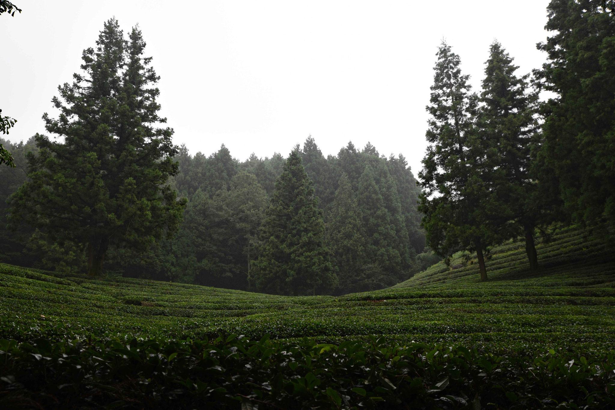 Im Anschluß kommt schon gleich wieder eine Teeplantage