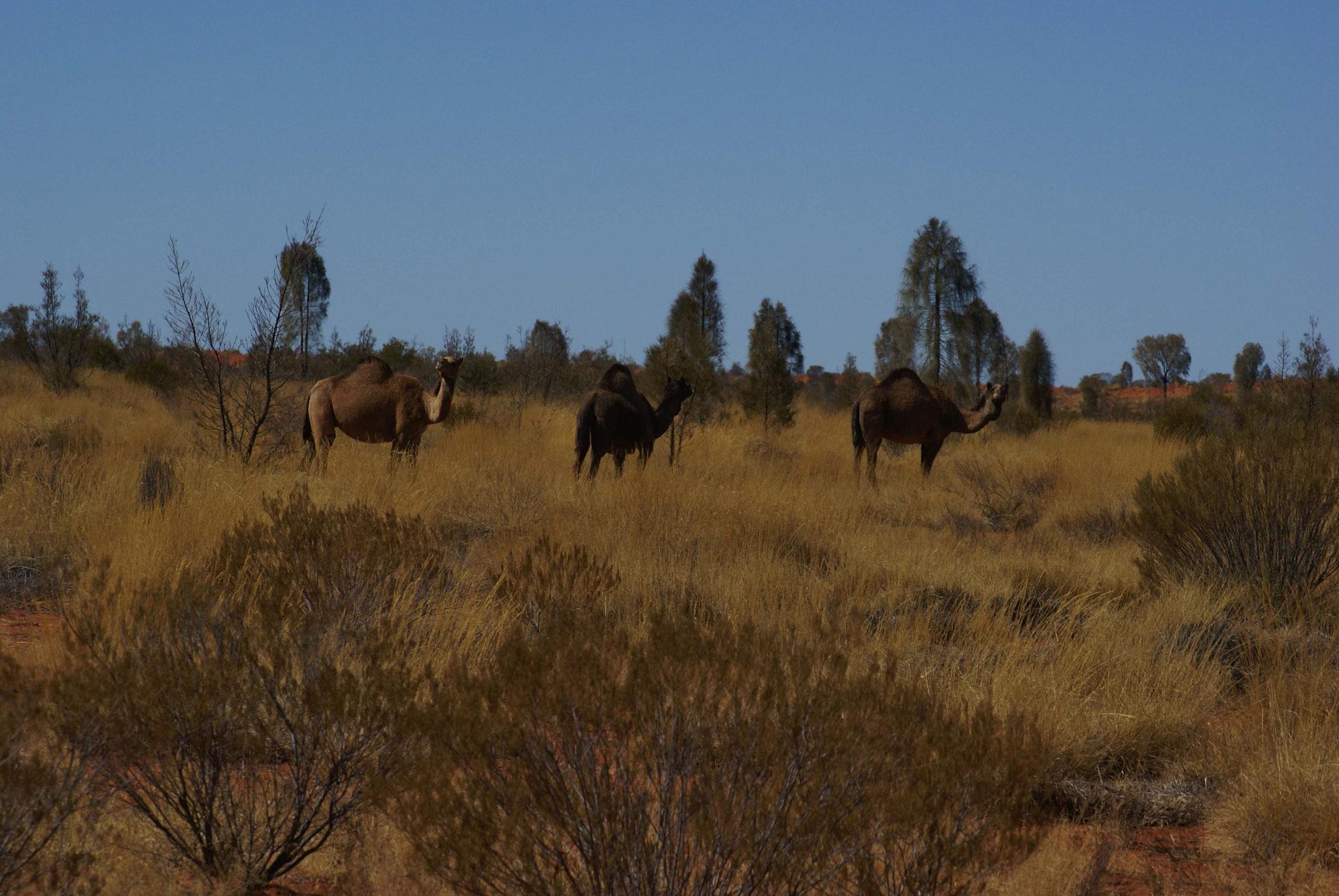Kamele sind eine Landplage
