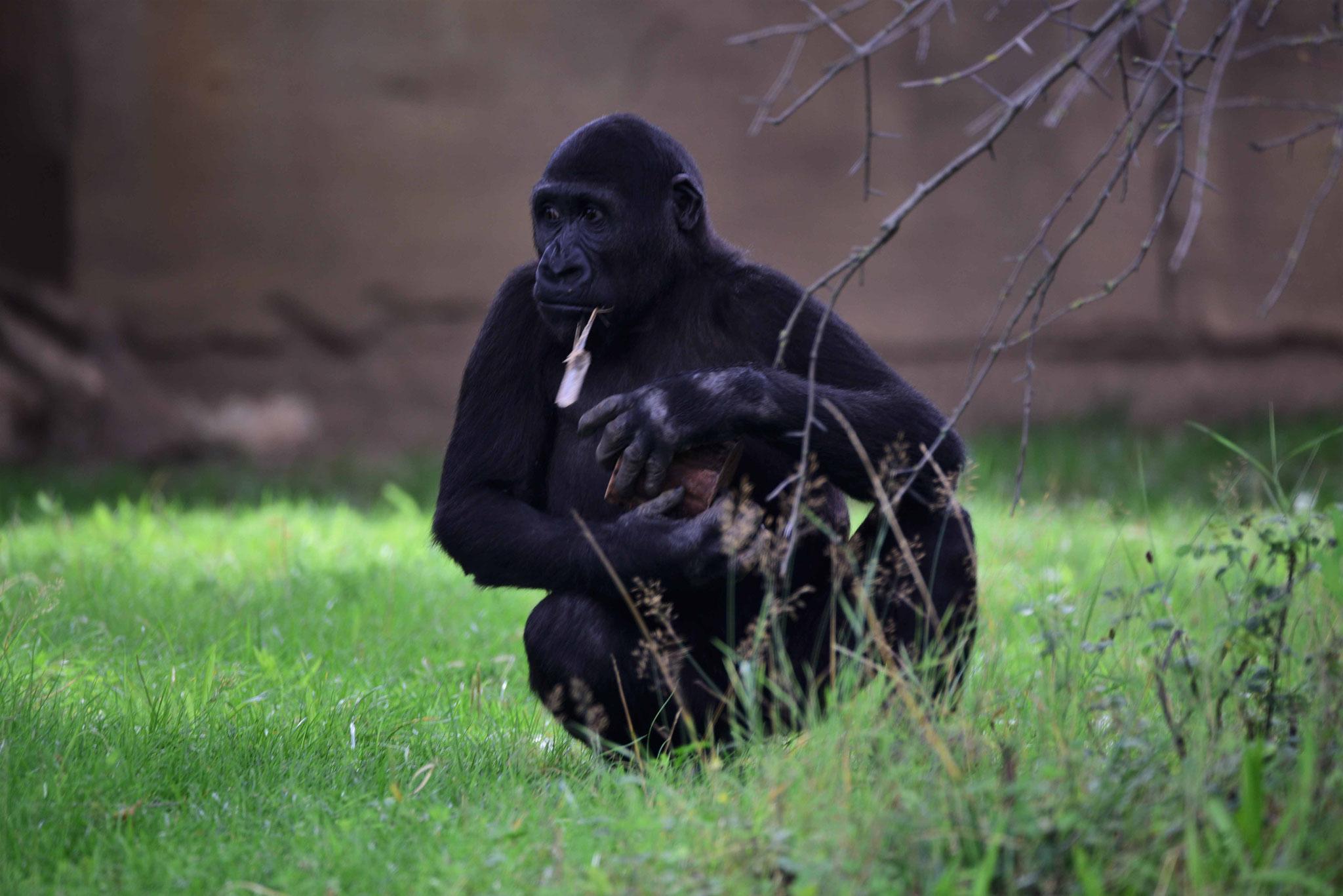 Was mach ich als nächstes? Gorilla in der Wilhelma Stuttgart