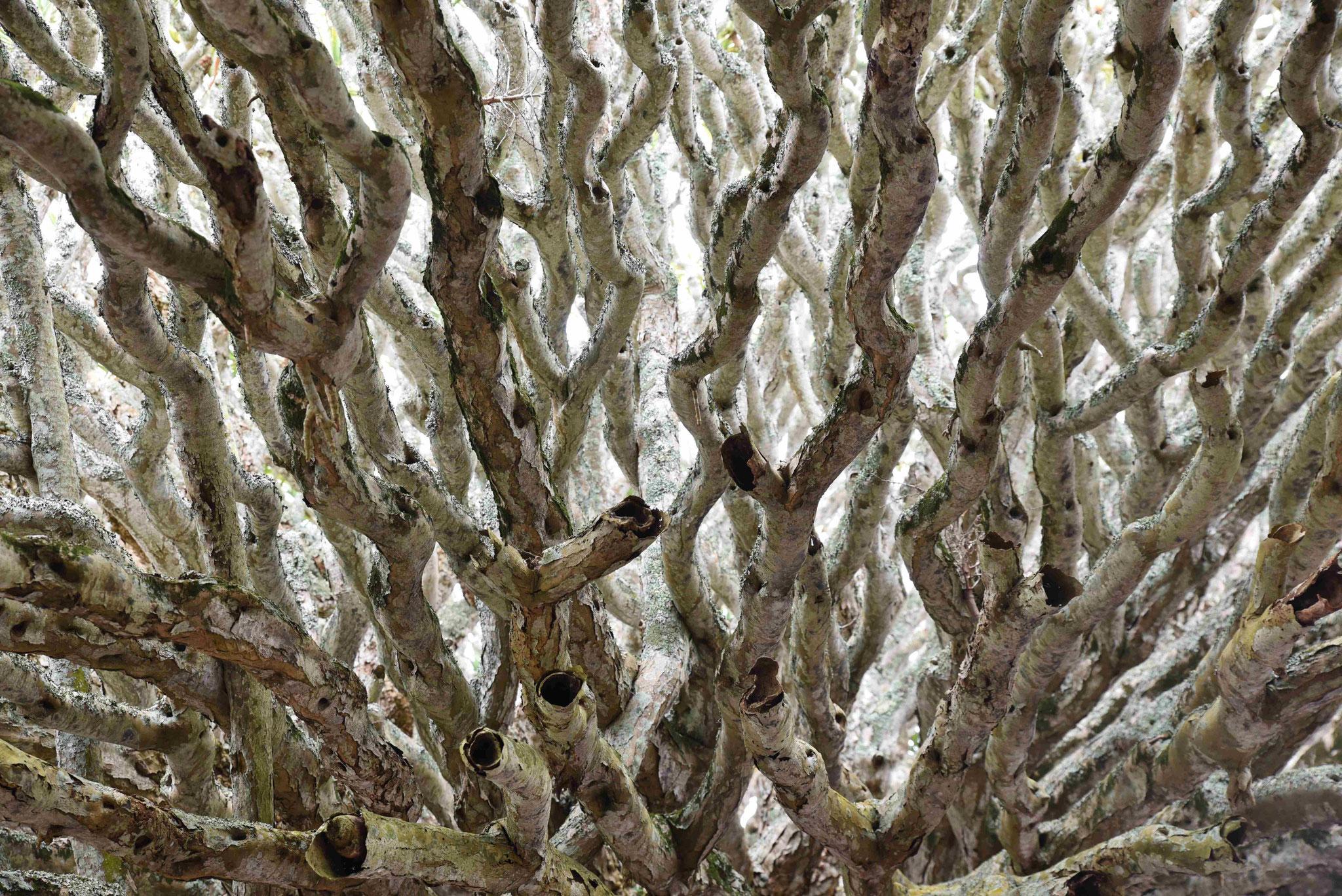 Drachenbäume mal bizarr