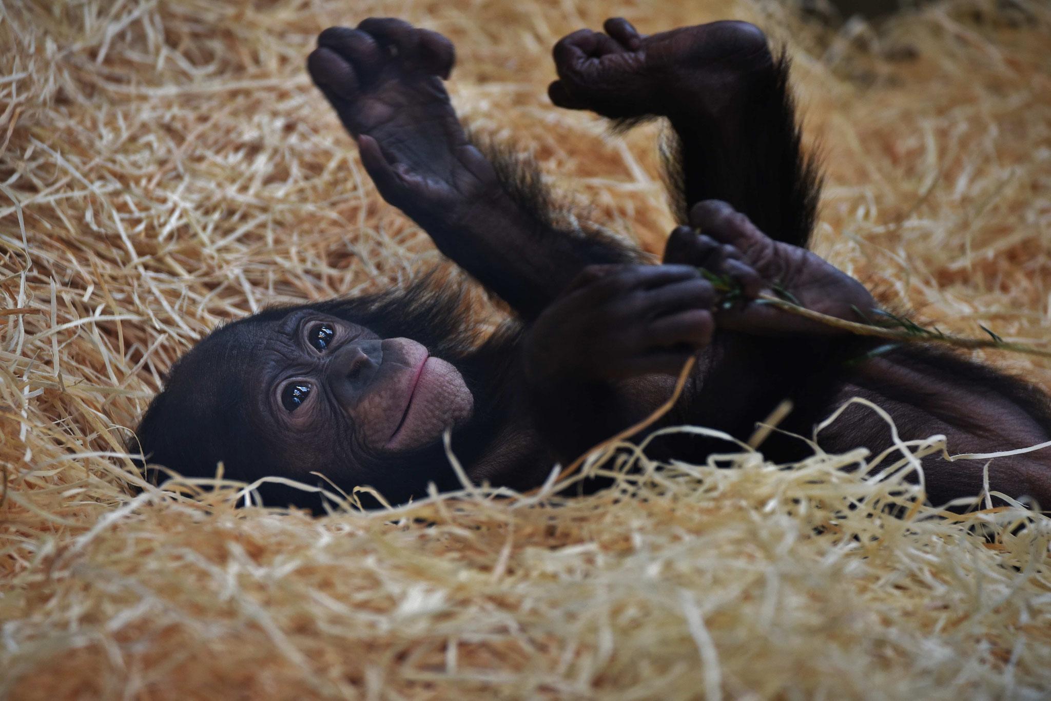 Bonobokind - Wilhelma, Stuttgart