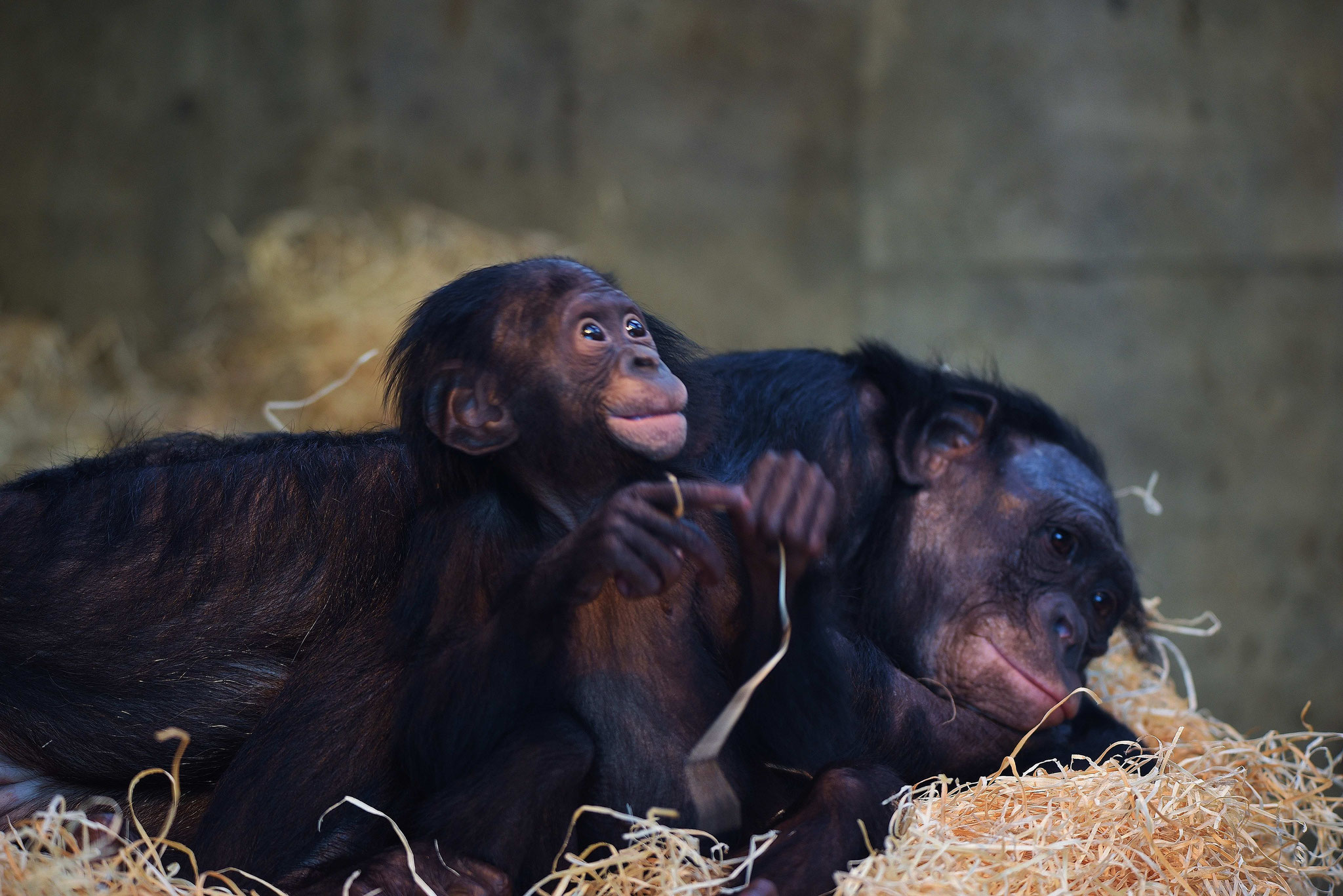 Schmusendes Bonobokind - Wilhelma, Stuttgart