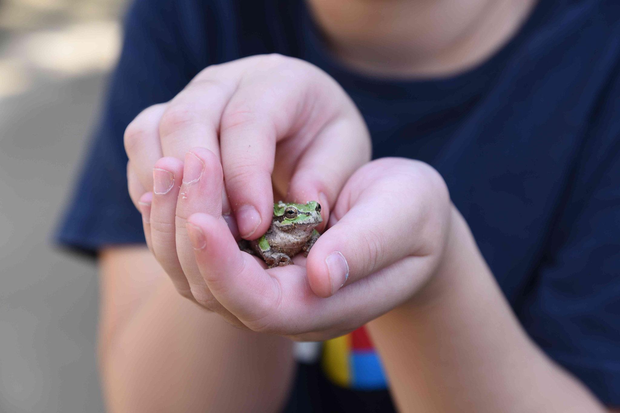 Frosch in der Hand eines koreanischen Mädchens