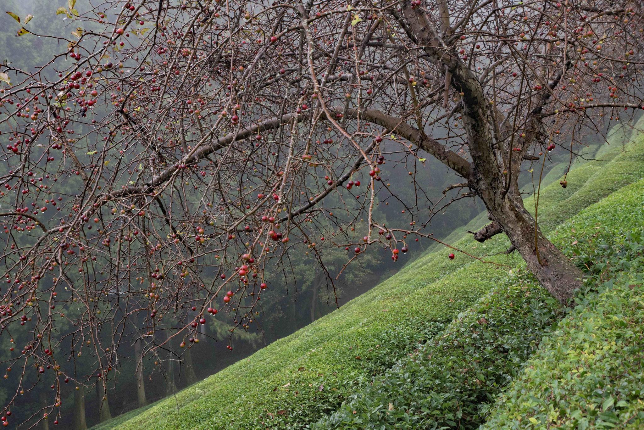 Der Baum lockert die langen Teebuschreihen auf