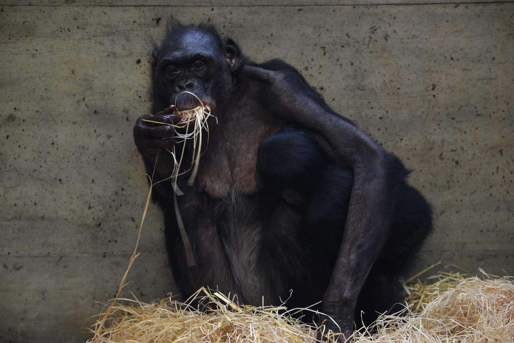 Bonobomutter mit säugendem Kind - Wilhelma, Stuttgart