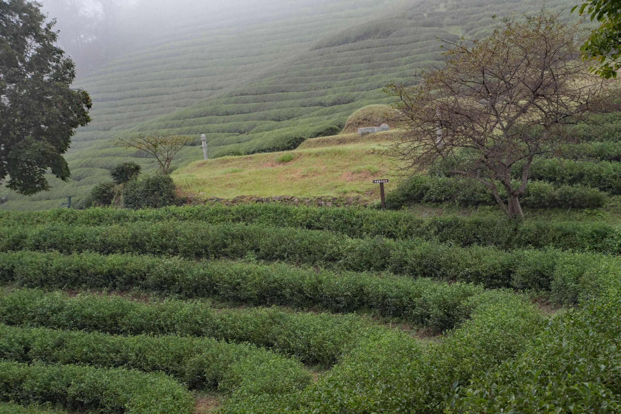 Blick entlang von einigen Teebuschreihen