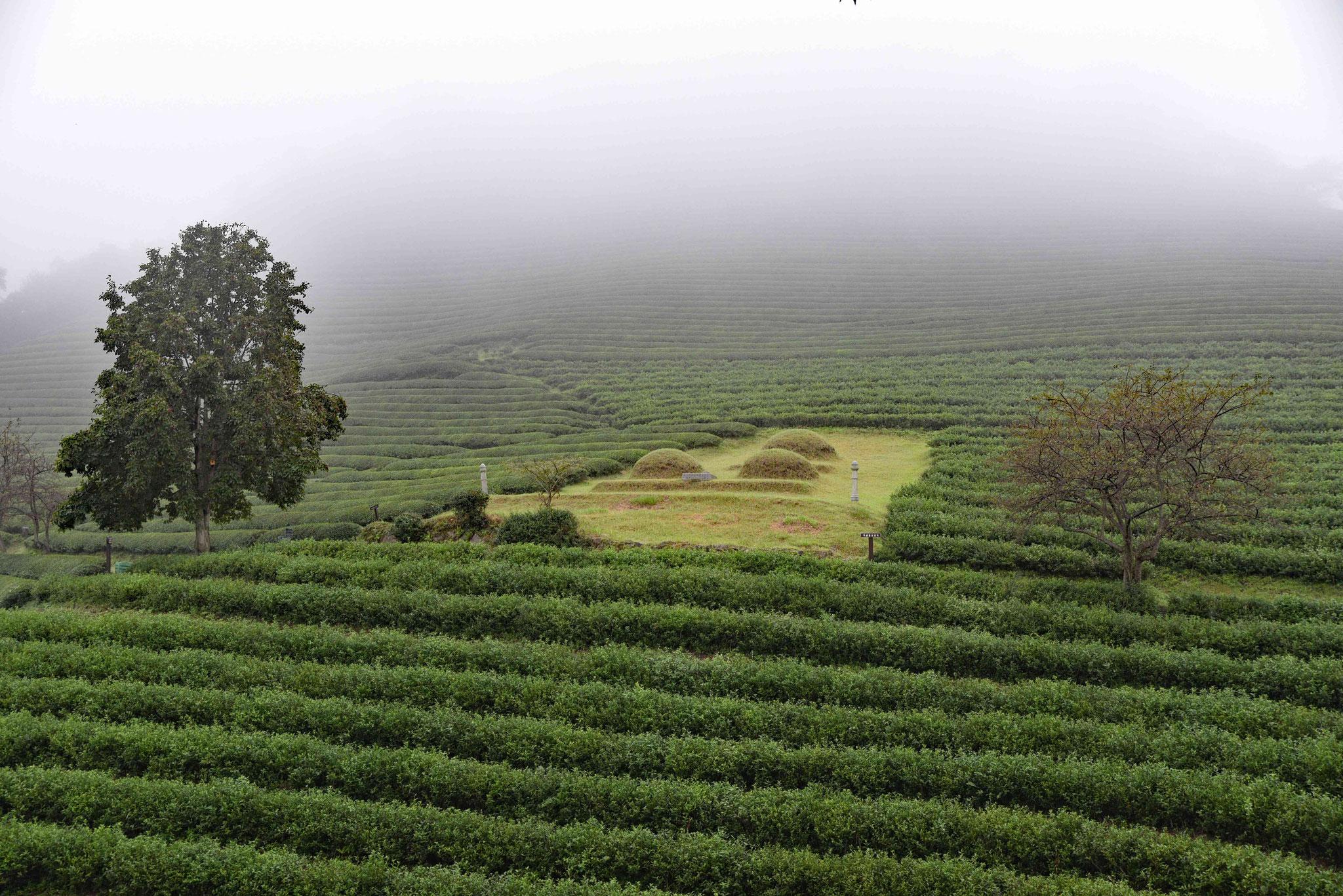 Gräber inmitten der Teeplantage
