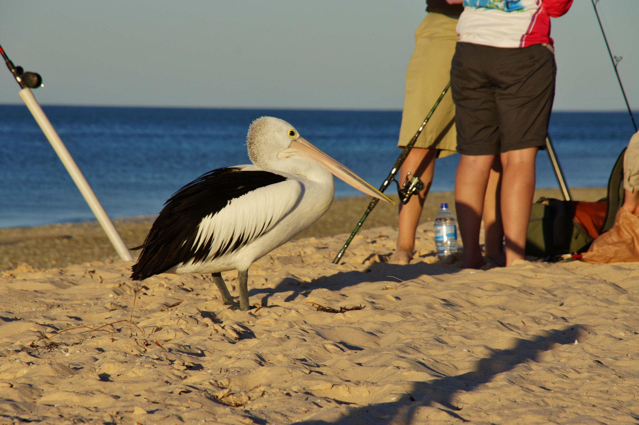 Schlauer Pelikan sucht bei den Anglern nach Fischen (war mehrfach erfolgreich)