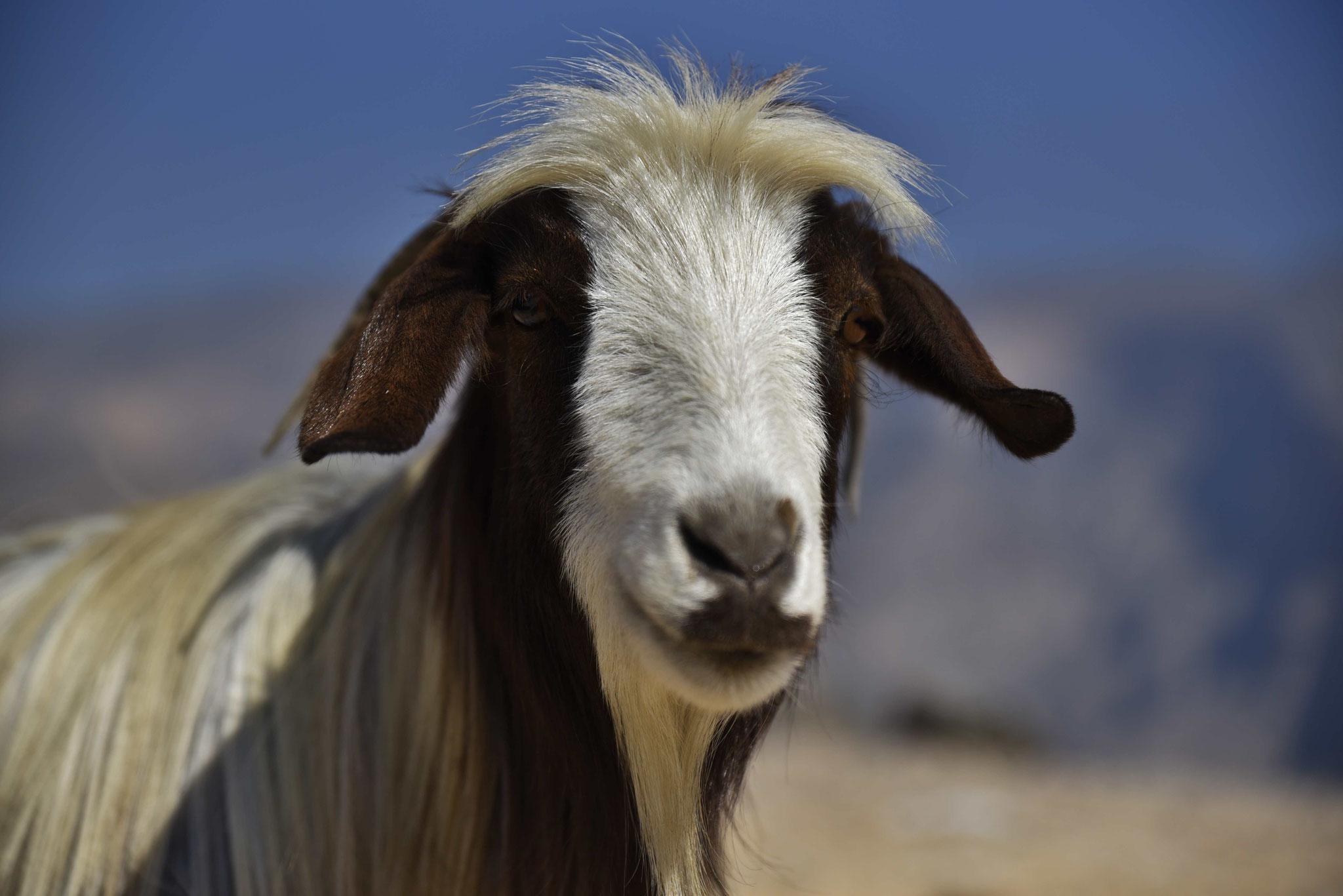 Frei rumlaufende Ziegen findet man häufig im Oman