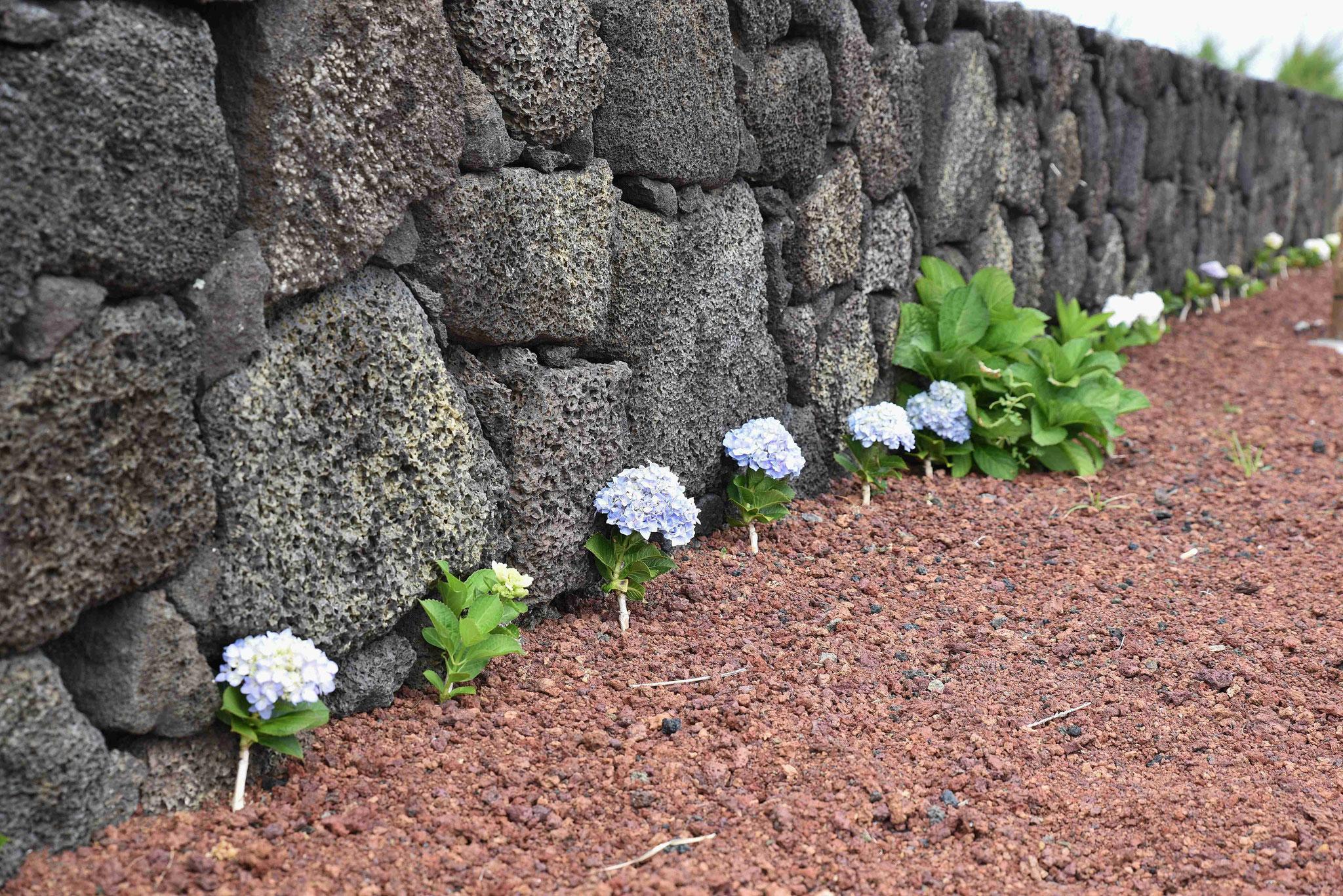 Hortensie säumen den Wegesrand - frische Bepflanzung