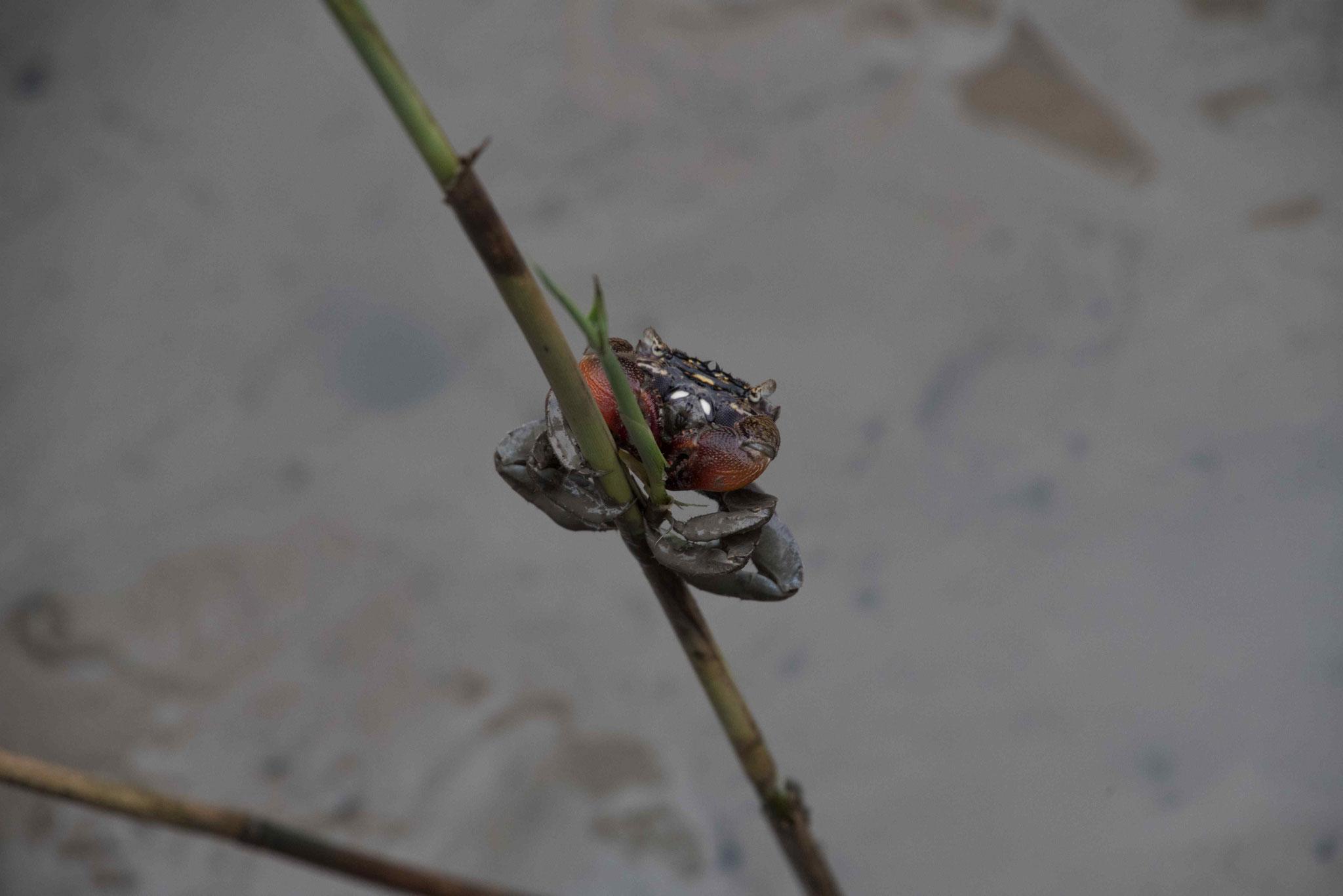Krabbe an einem Halm