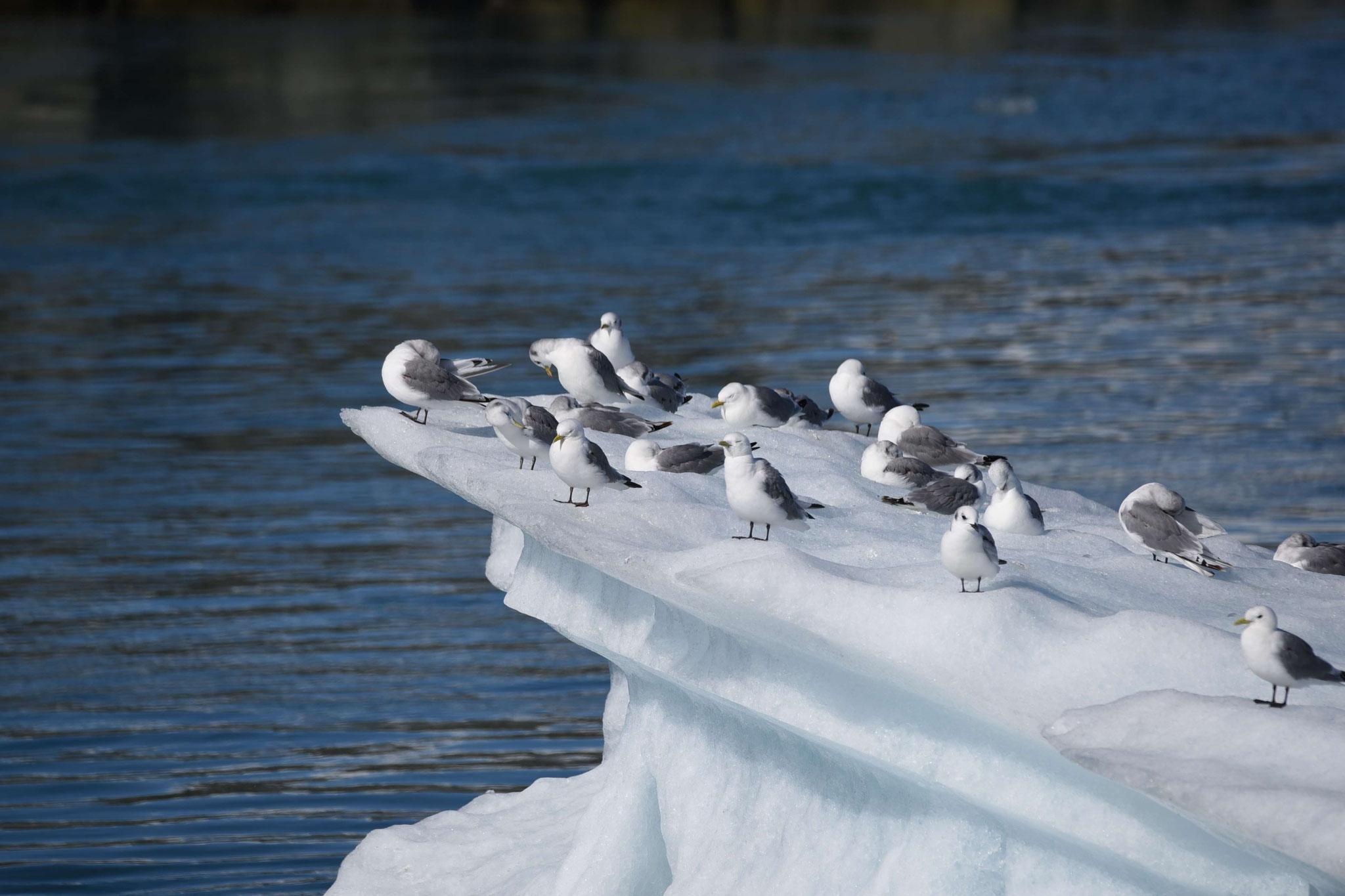 Jökulssarlón - Möwen auf Eisscholle