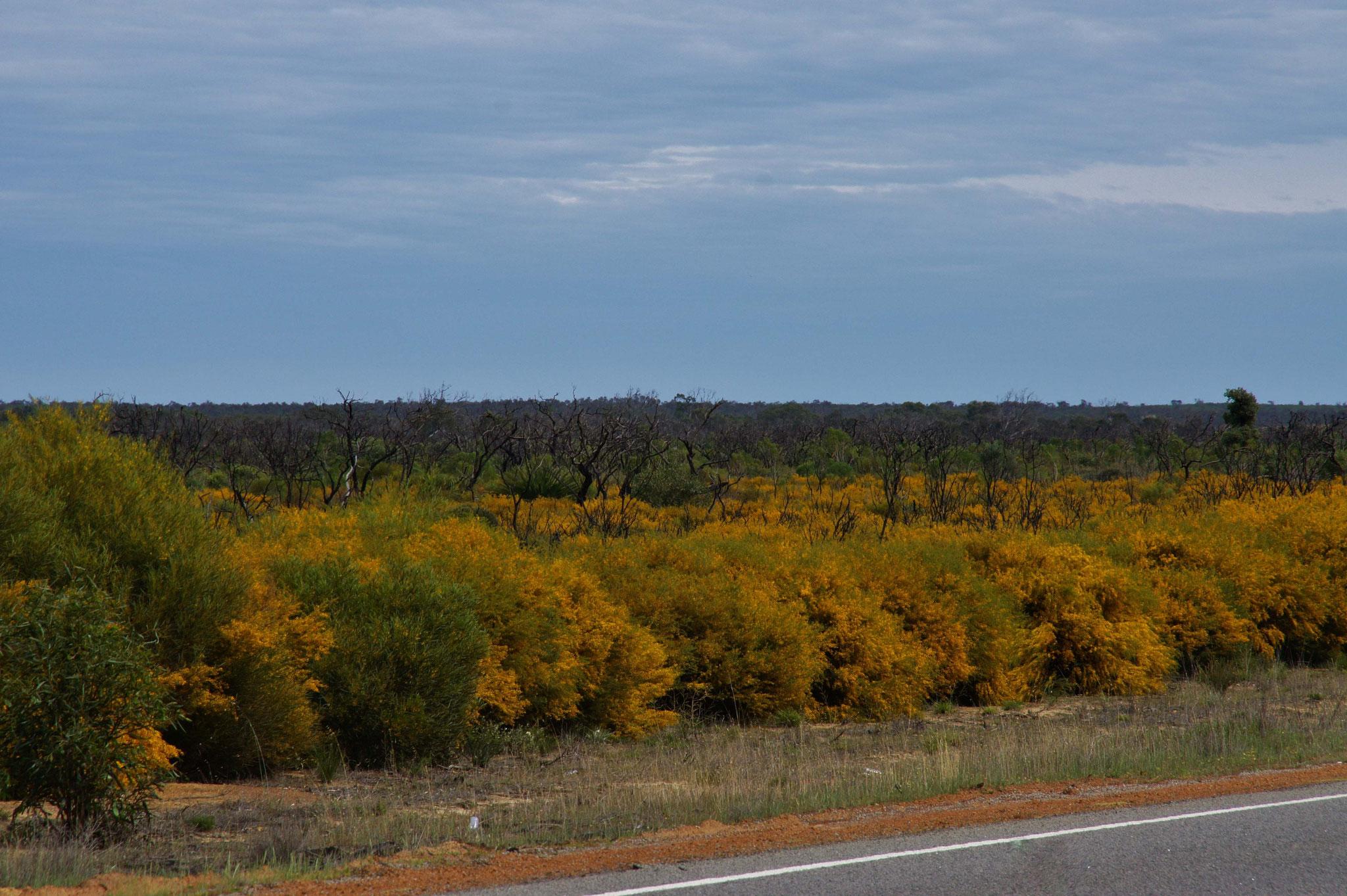 Blütenpracht in Westaustralien