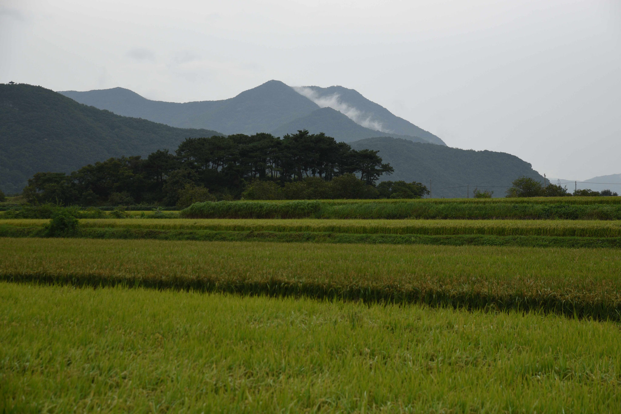 Wunderschöne Reisfelder - im Hintergrund als Konstrast die Berge des Jirisan