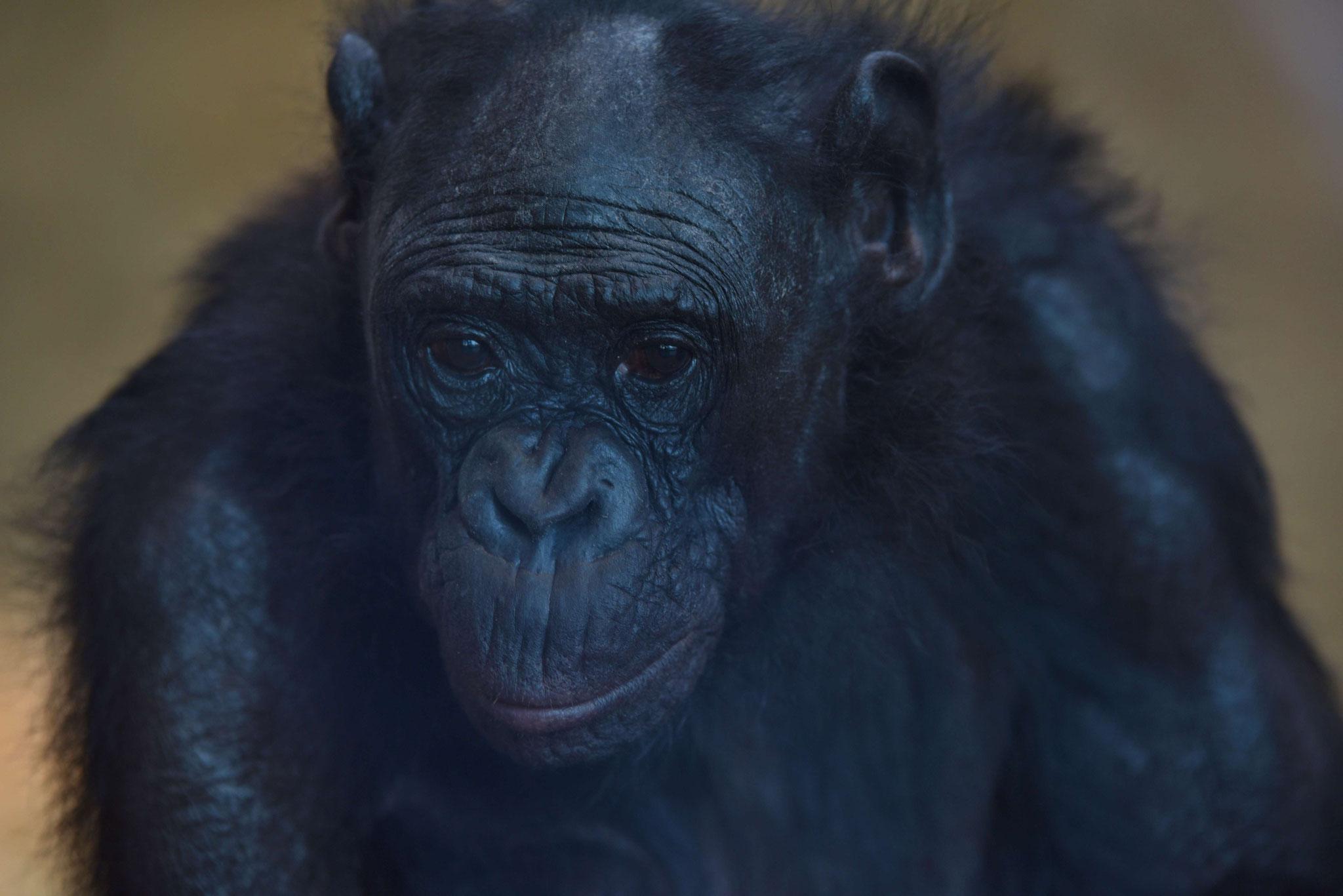 Nachdenklicher Bonobo - Wilhelma, Stuttgart