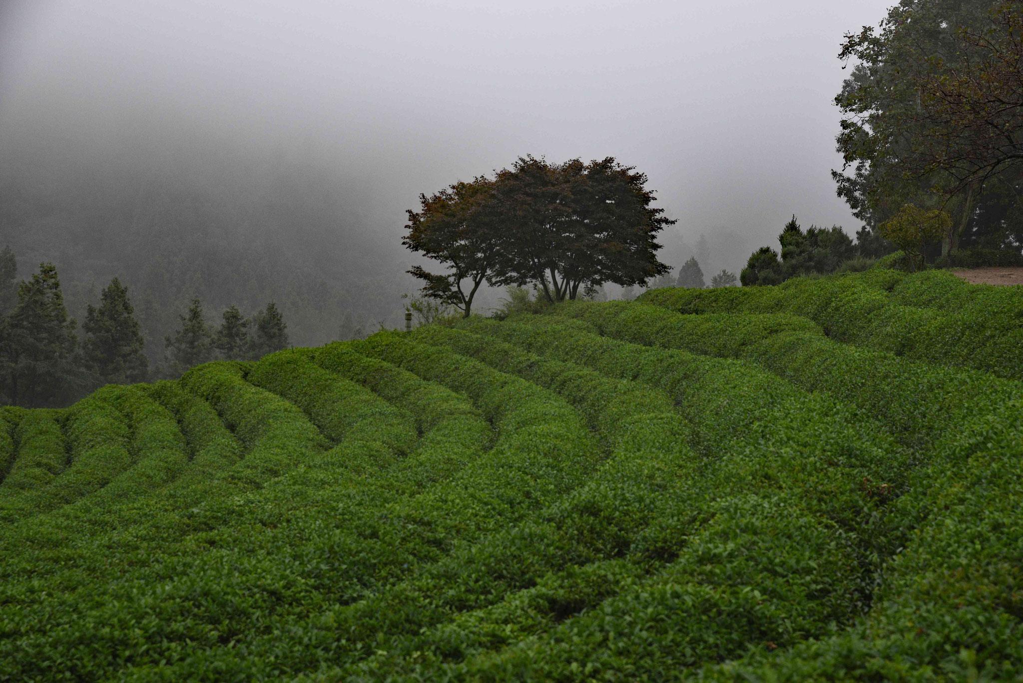 Idylischer Ausblick in der Teeplantage