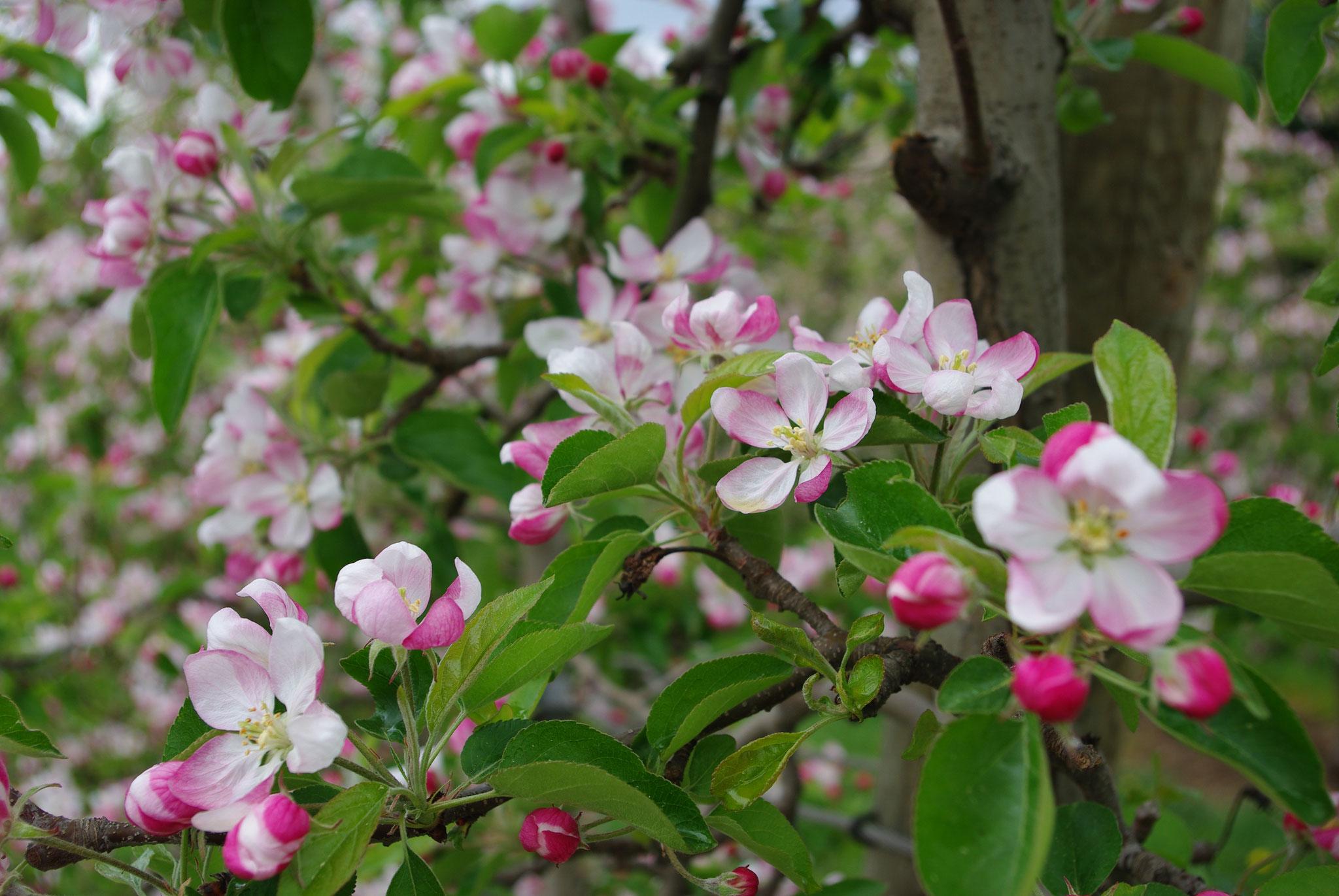 Apfelblüte im ApfelLand Stubenbergsee