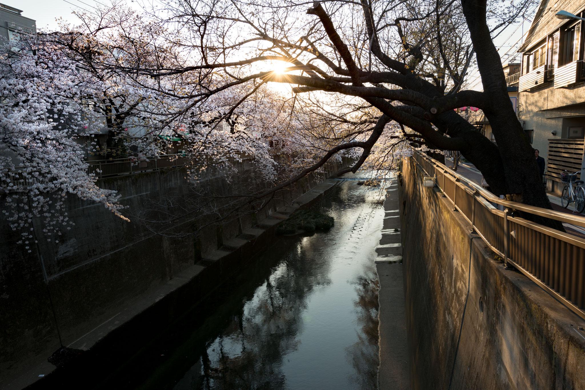石神井川の桜並木2(2018年3月25日撮影)