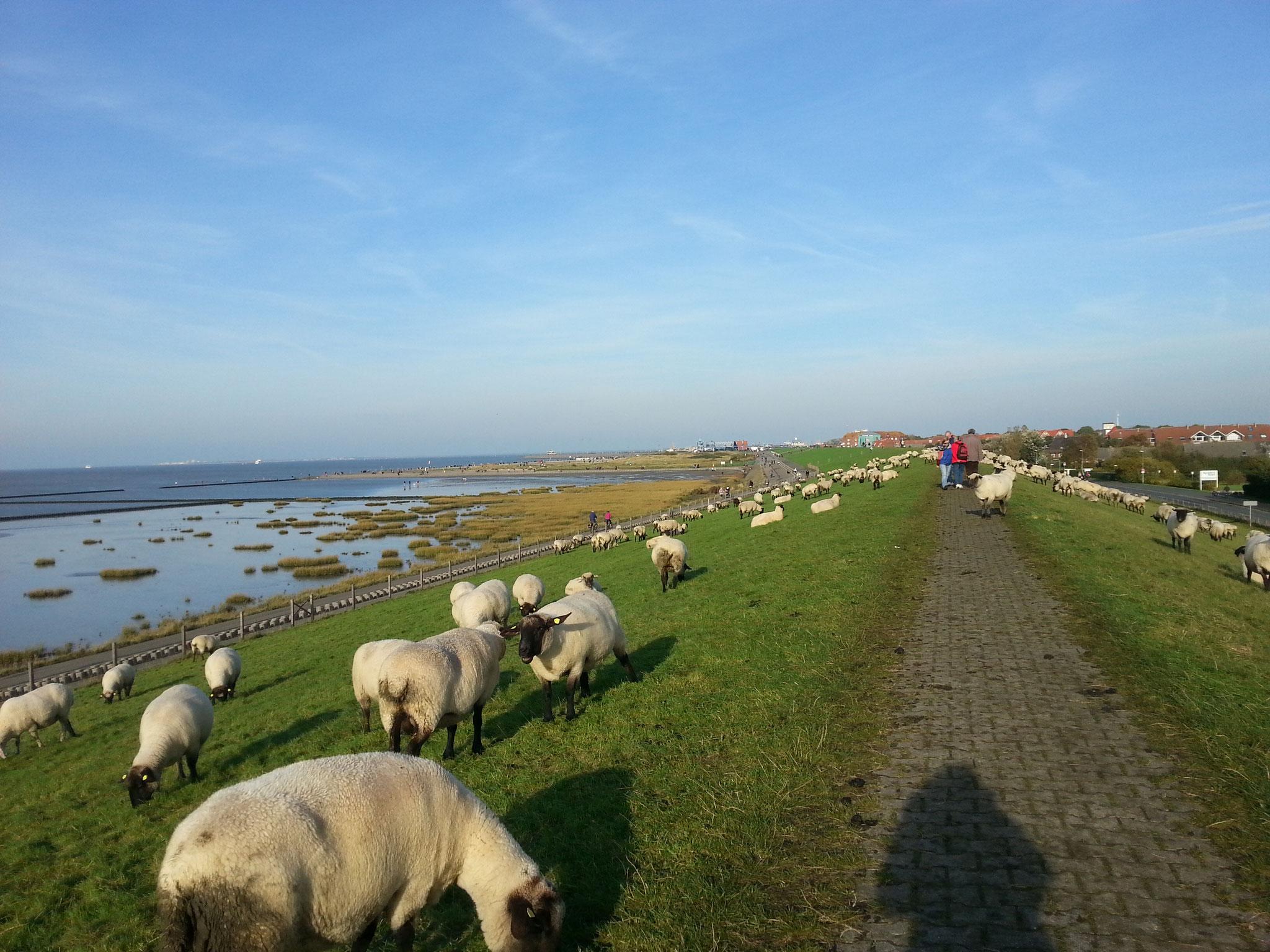 Spaziergang auf dem Deich - manchmal mit grasenden Schafen. Ca. 4 - 5 Gehminuten von der Ferienwohnung.