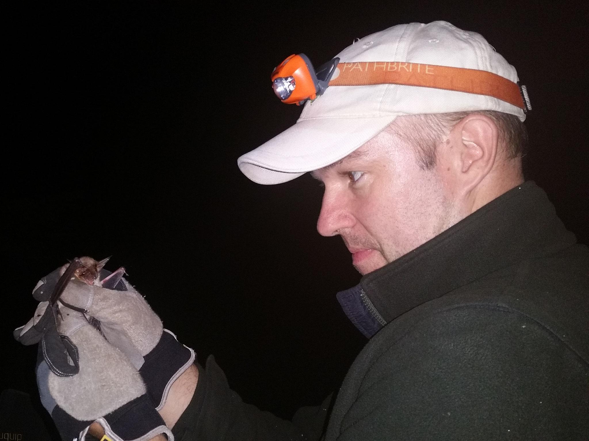 Untersuchen einer Fledermaus beim Netzfang