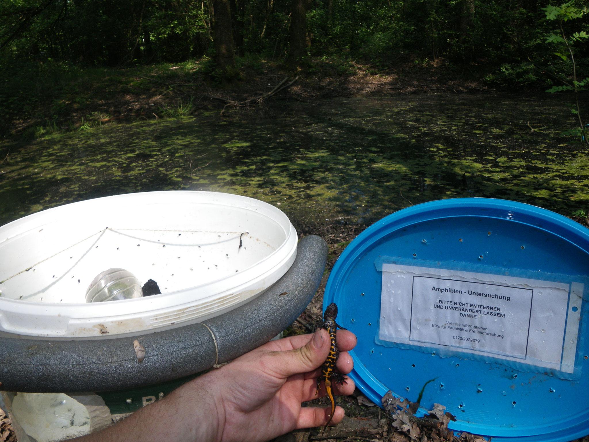Amphibienreuse mit Kammmolch
