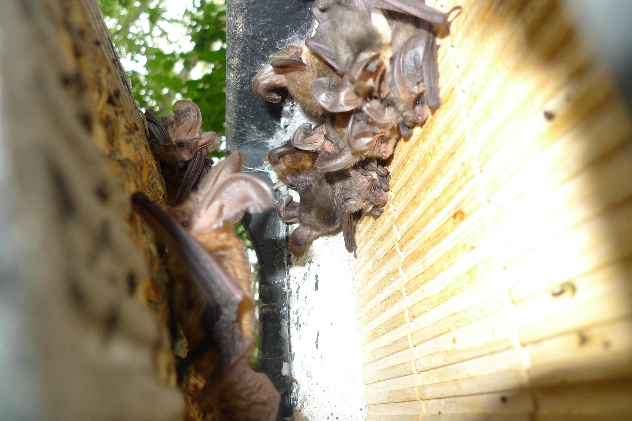 Kolonie des Braunen Langohrs in einem Flachkasten