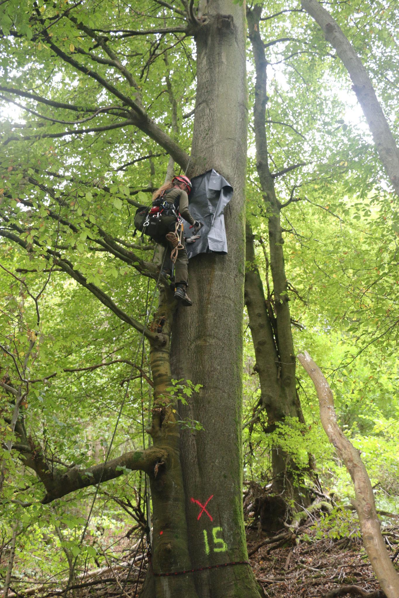 Verschließen einer großen Baumhöhle