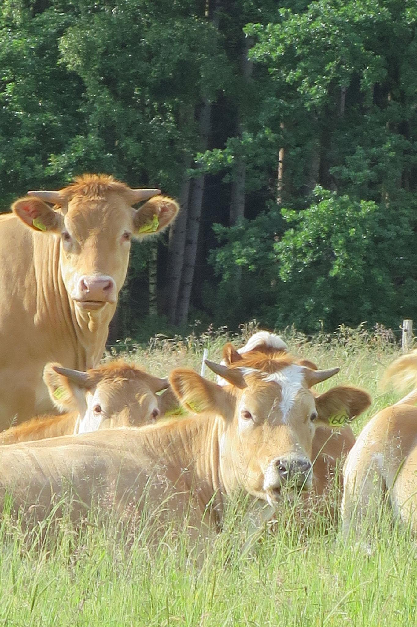 Mai - Blond d'Aquitaine-Rinder auf der Weide.