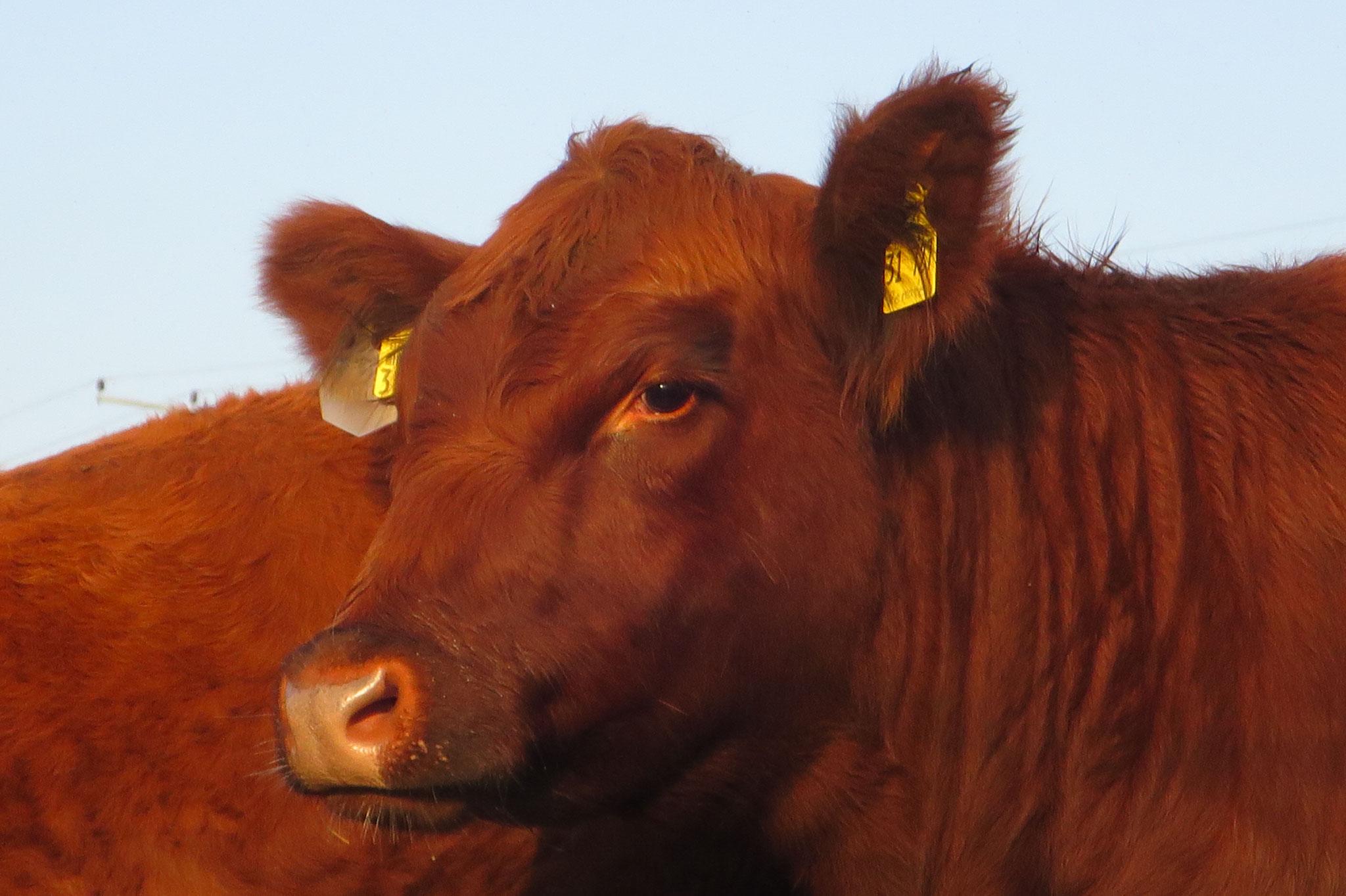 Oktober - Angus-Kuh in der Herbstsonne