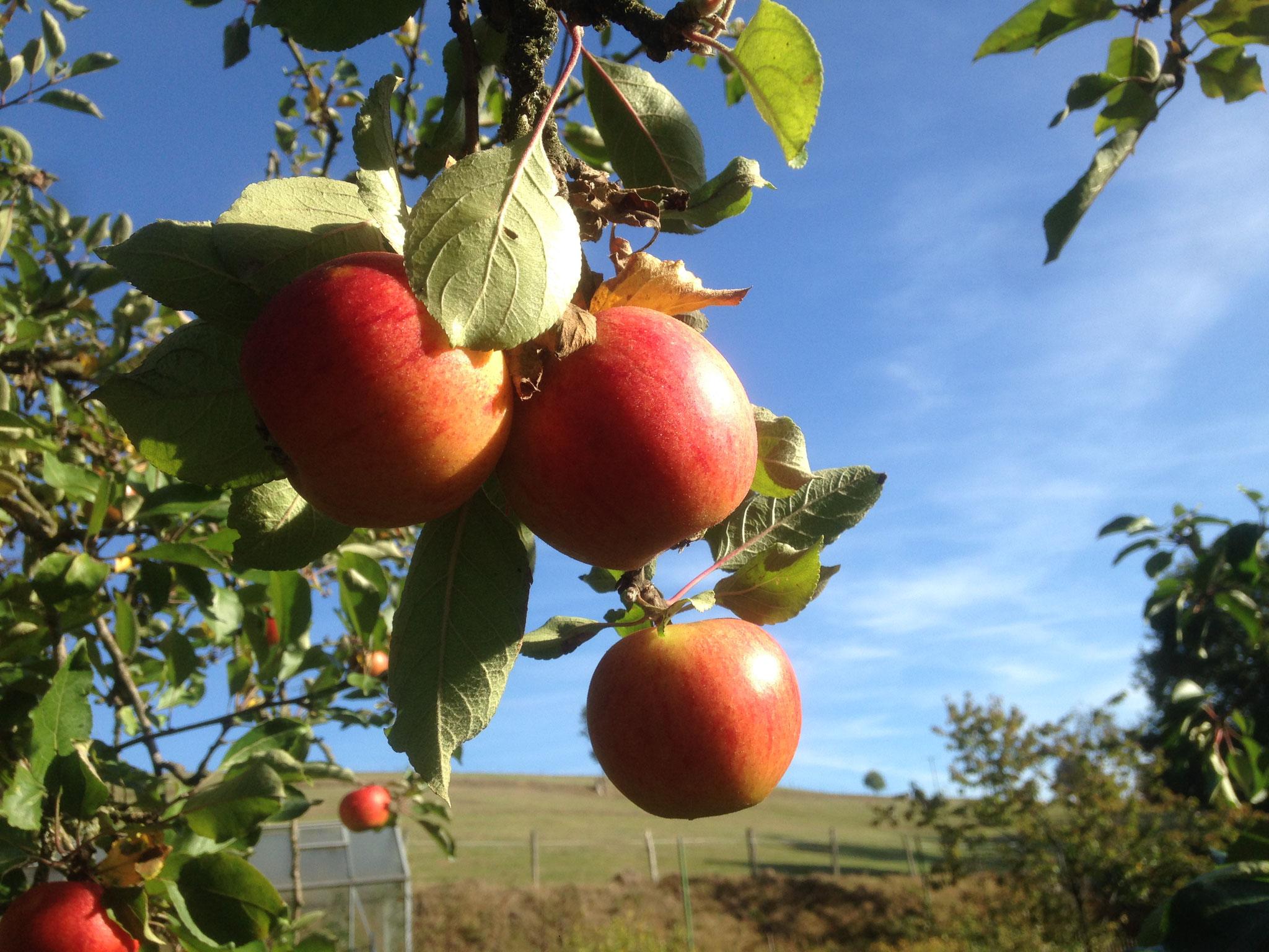 Oktober - reiche Apfelernte