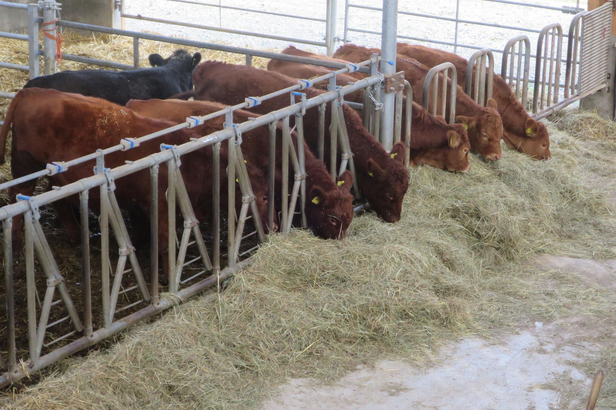November - Neue Bewohner im Stall: 4 Angus-Färsen und 4 Limousin-Färsen.