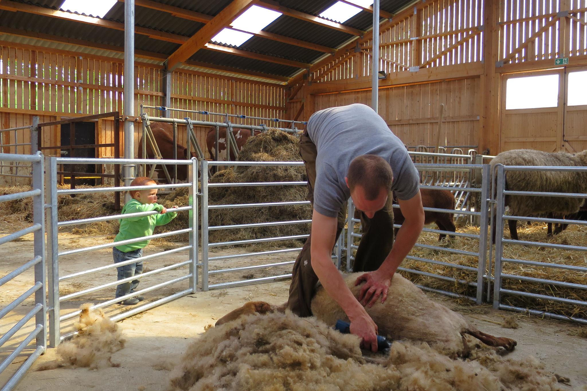 Mai - Die Schafe werden geschoren.